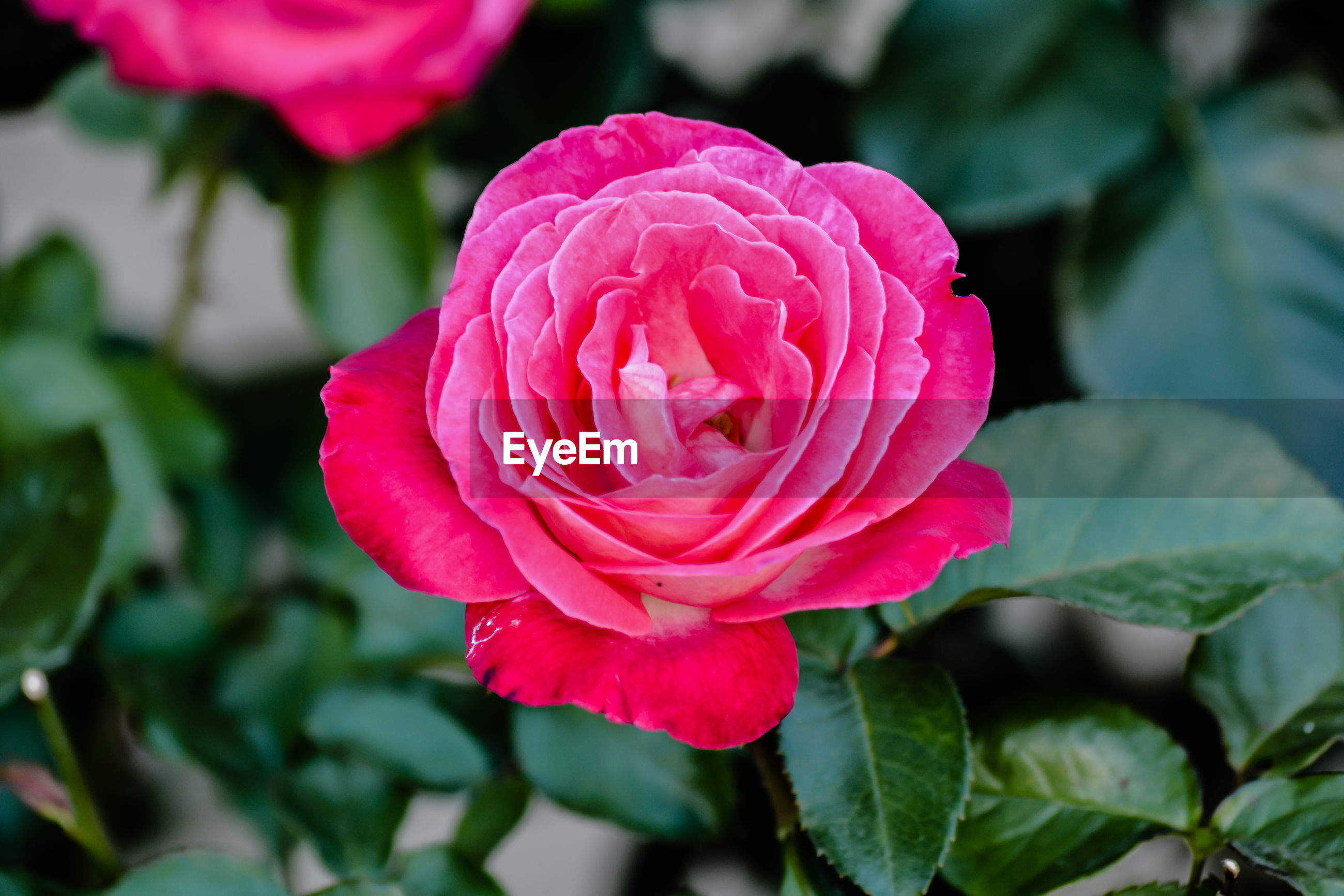 CLOSE-UP OF PINK ROSE IN RED ROSES