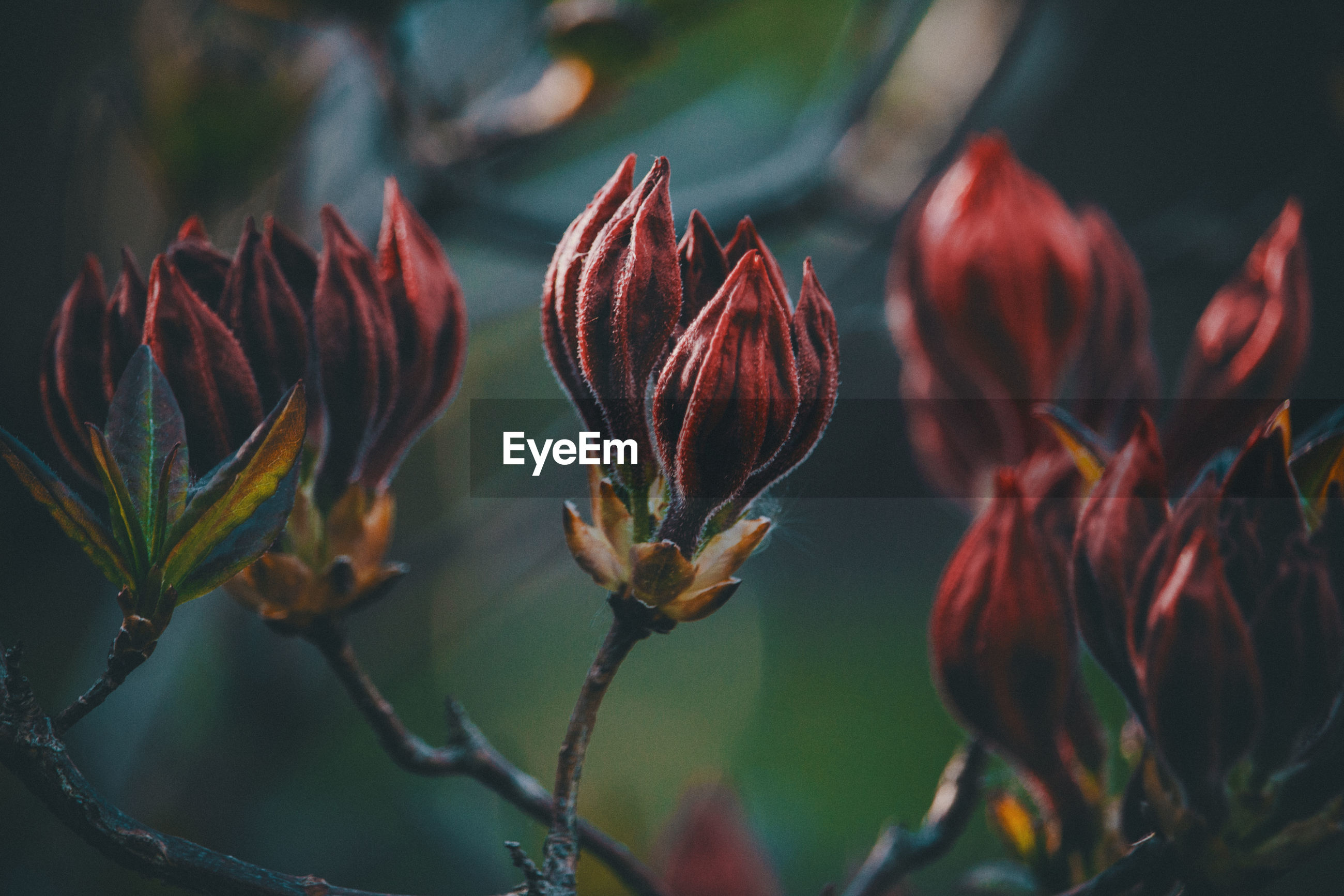 growth, beauty in nature, plant, close-up, vulnerability, freshness, flower, fragility, flowering plant, focus on foreground, nature, no people, day, selective focus, red, plant stem, outdoors, petal, beginnings, bud, flower head, sepal