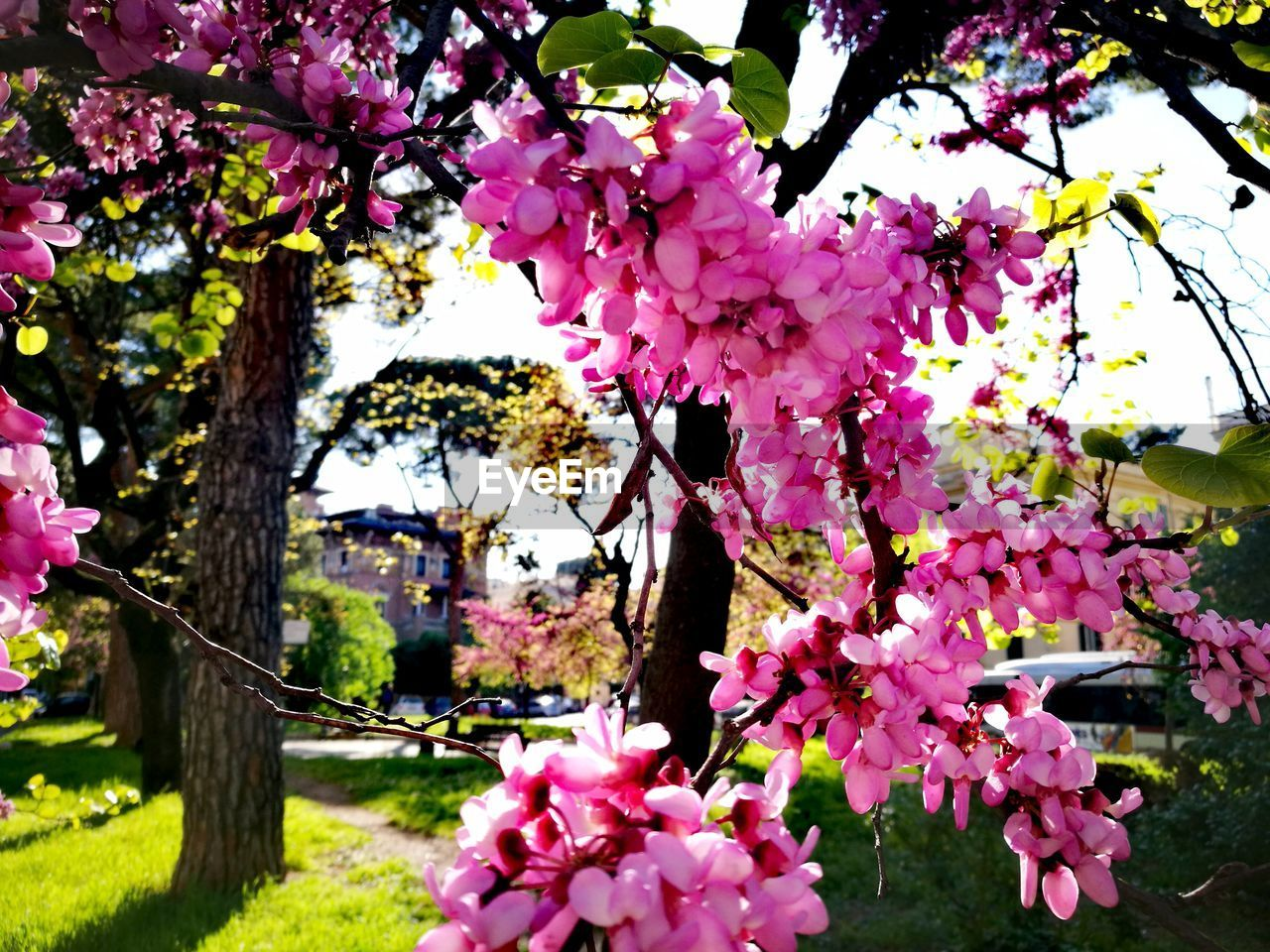 flower, tree, fragility, pink color, blossom, growth, beauty in nature, cherry blossom, springtime, freshness, cherry tree, nature, branch, petal, botany, apple tree, apple blossom, no people, flower head, blooming, magnolia, orchard, pink, day, outdoors, plum blossom, low angle view, close-up, sky