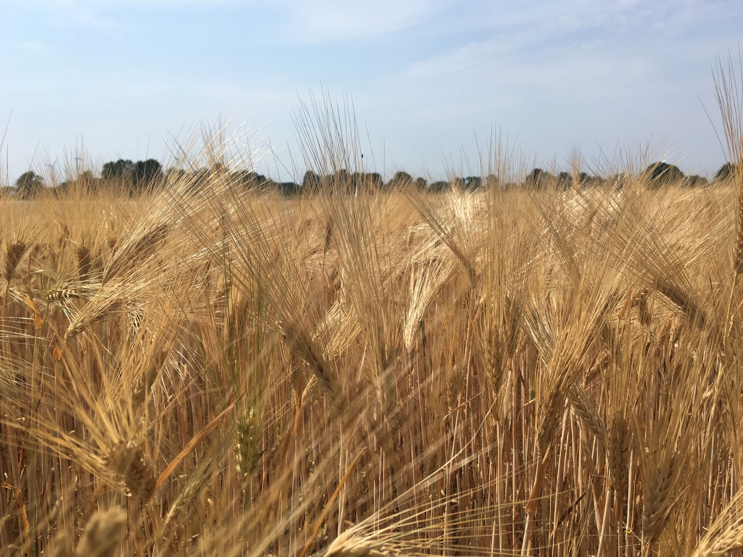 SCENIC SHOT OF WHEAT FIELD AGAINST SKY
