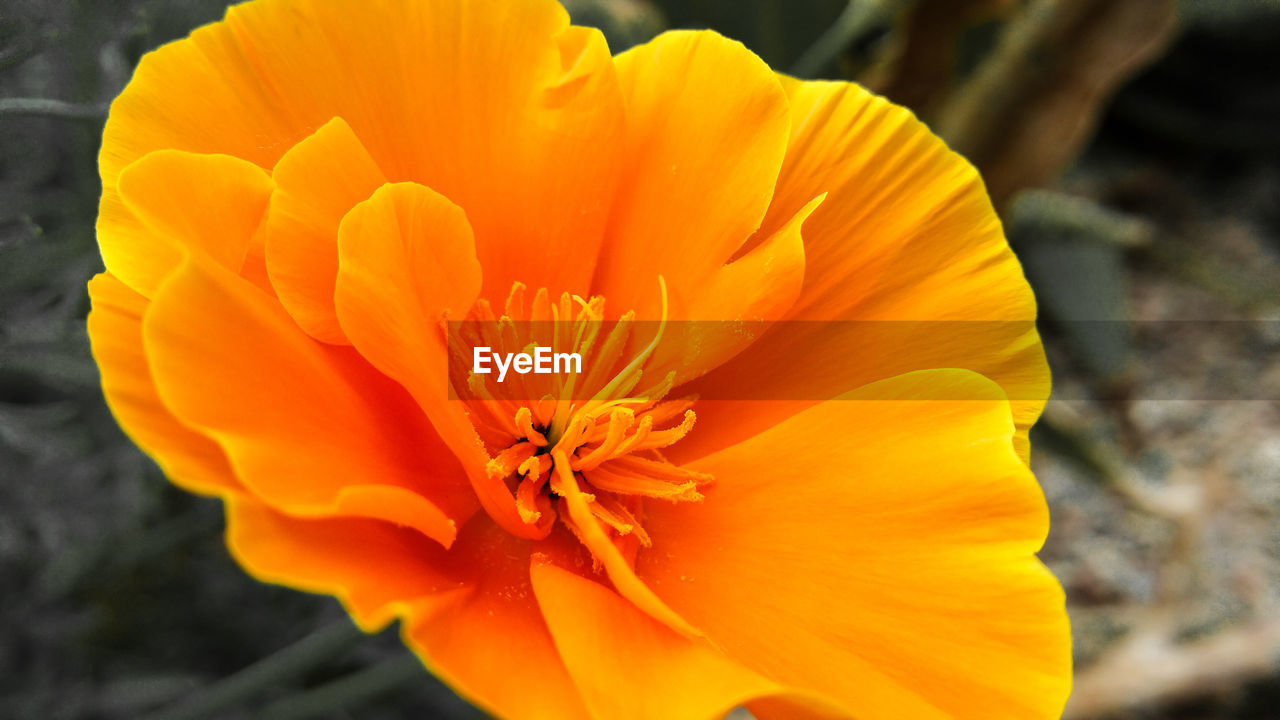 flower, petal, flower head, fragility, beauty in nature, freshness, nature, orange color, yellow, pollen, growth, outdoors, close-up, blooming, plant, no people, day, stamen, gazania, hibiscus