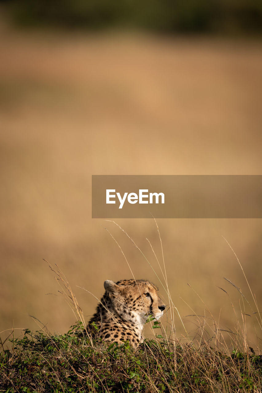 animal themes, animal, one animal, animals in the wild, no people, mammal, vertebrate, land, feline, animal wildlife, nature, day, cat, focus on foreground, big cat, looking, field, looking away, outdoors, cheetah, whisker