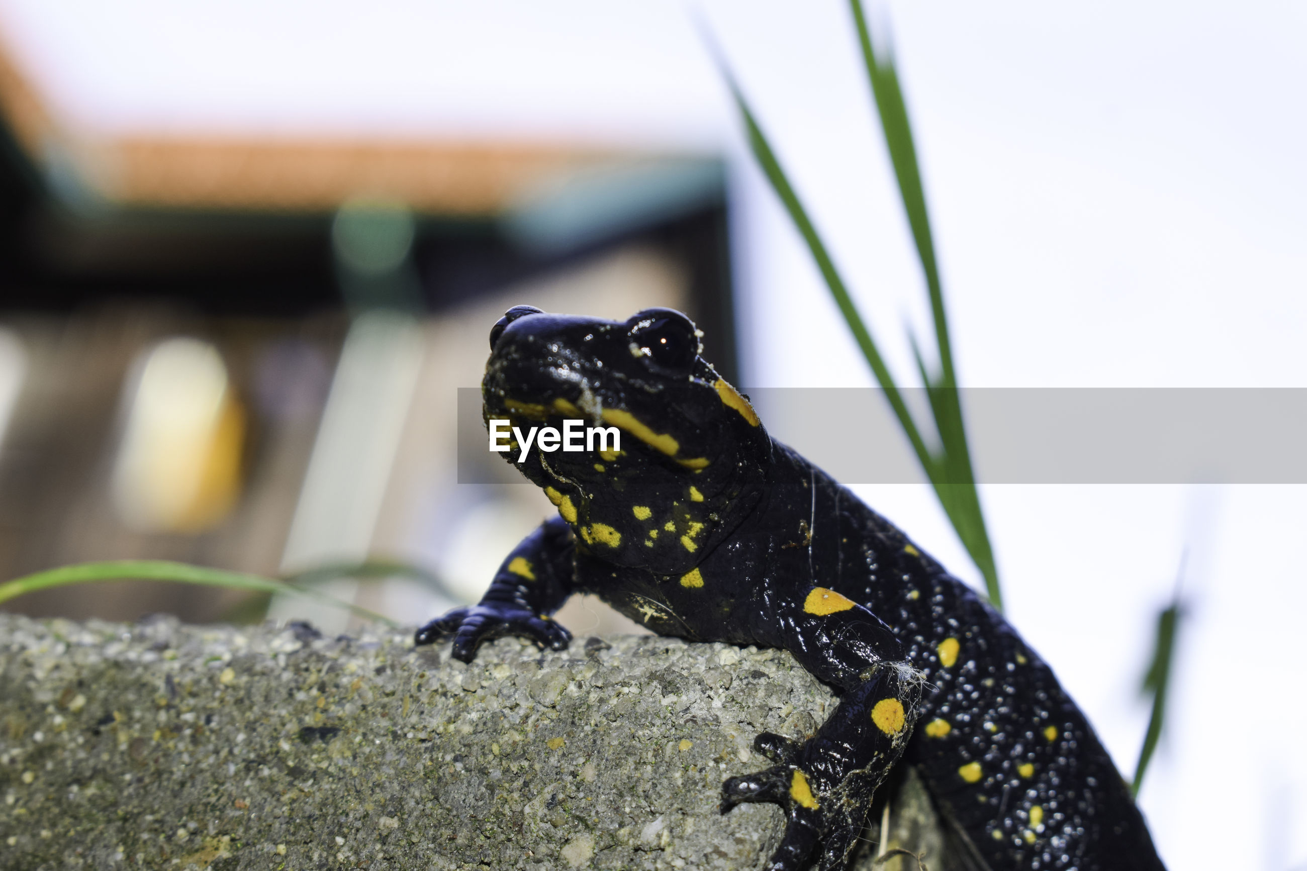 CLOSE-UP OF A LIZARD ON A A BLURRED BACKGROUND