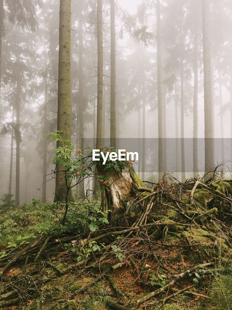 plant, land, tree, forest, growth, fog, nature, beauty in nature, woodland, trunk, tree trunk, tranquility, no people, day, tranquil scene, non-urban scene, environment, outdoors, plant part, hazy