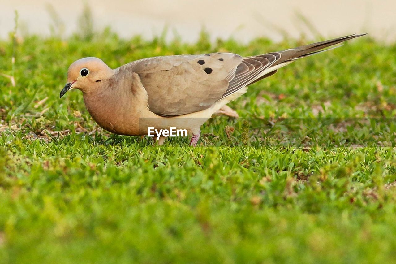bird, animal themes, grass, animals in the wild, one animal, field, nature, green color, selective focus, day, outdoors, no people, animal wildlife, close-up, growth, mourning dove, beauty in nature, perching