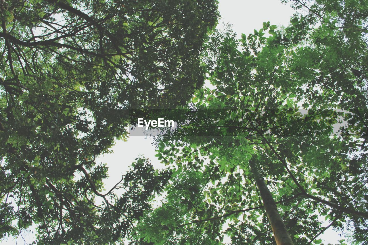 tree, plant, low angle view, growth, beauty in nature, day, nature, no people, sky, forest, tranquility, outdoors, branch, green color, land, scenics - nature, idyllic, tree canopy, sunlight, backgrounds, high