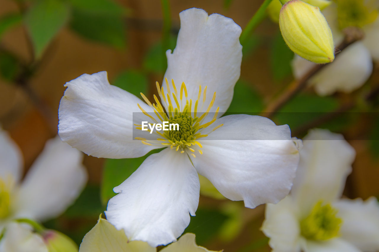 flowering plant, flower, beauty in nature, fragility, plant, vulnerability, growth, petal, freshness, close-up, inflorescence, flower head, white color, focus on foreground, no people, nature, day, selective focus, pollen, botany, softness