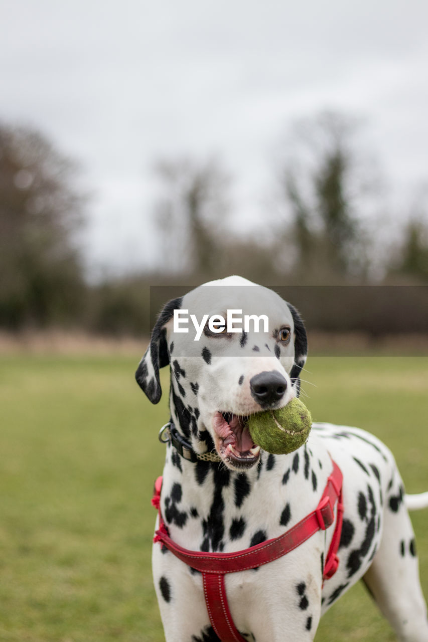 Dog Carrying Ball In Mouth On Field
