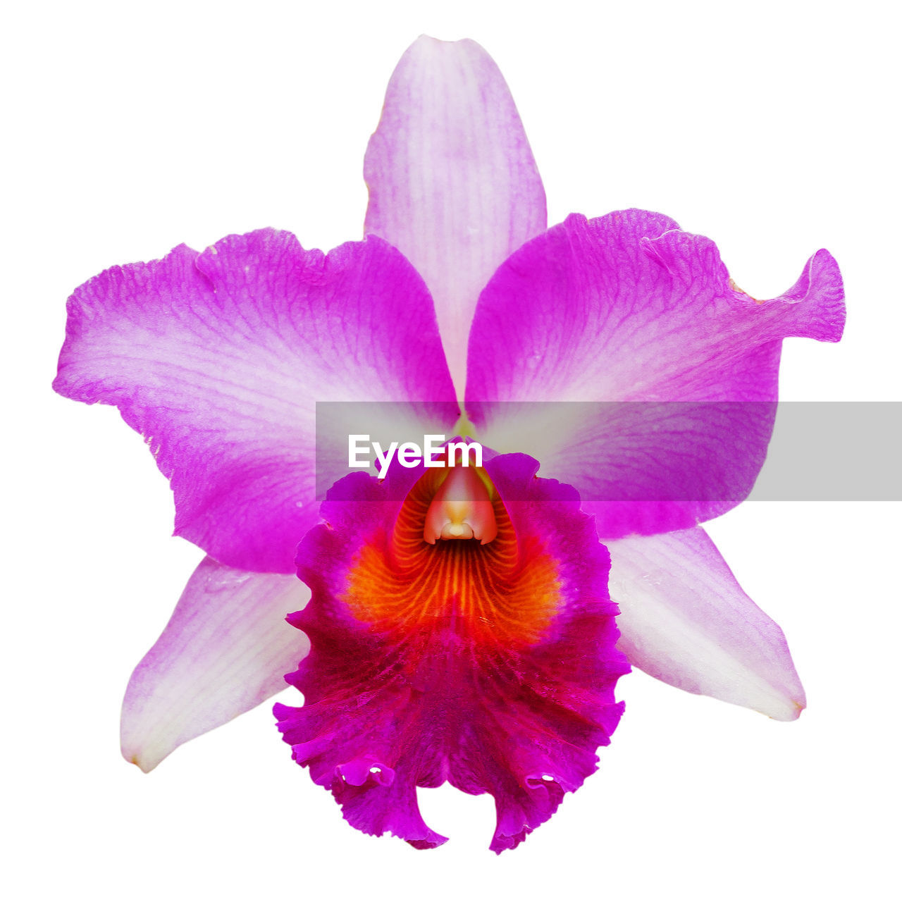 petal, flowering plant, flower, fragility, vulnerability, freshness, beauty in nature, close-up, plant, flower head, inflorescence, studio shot, white background, growth, purple, indoors, no people, nature, cut out, pollen, iris - plant, sepal