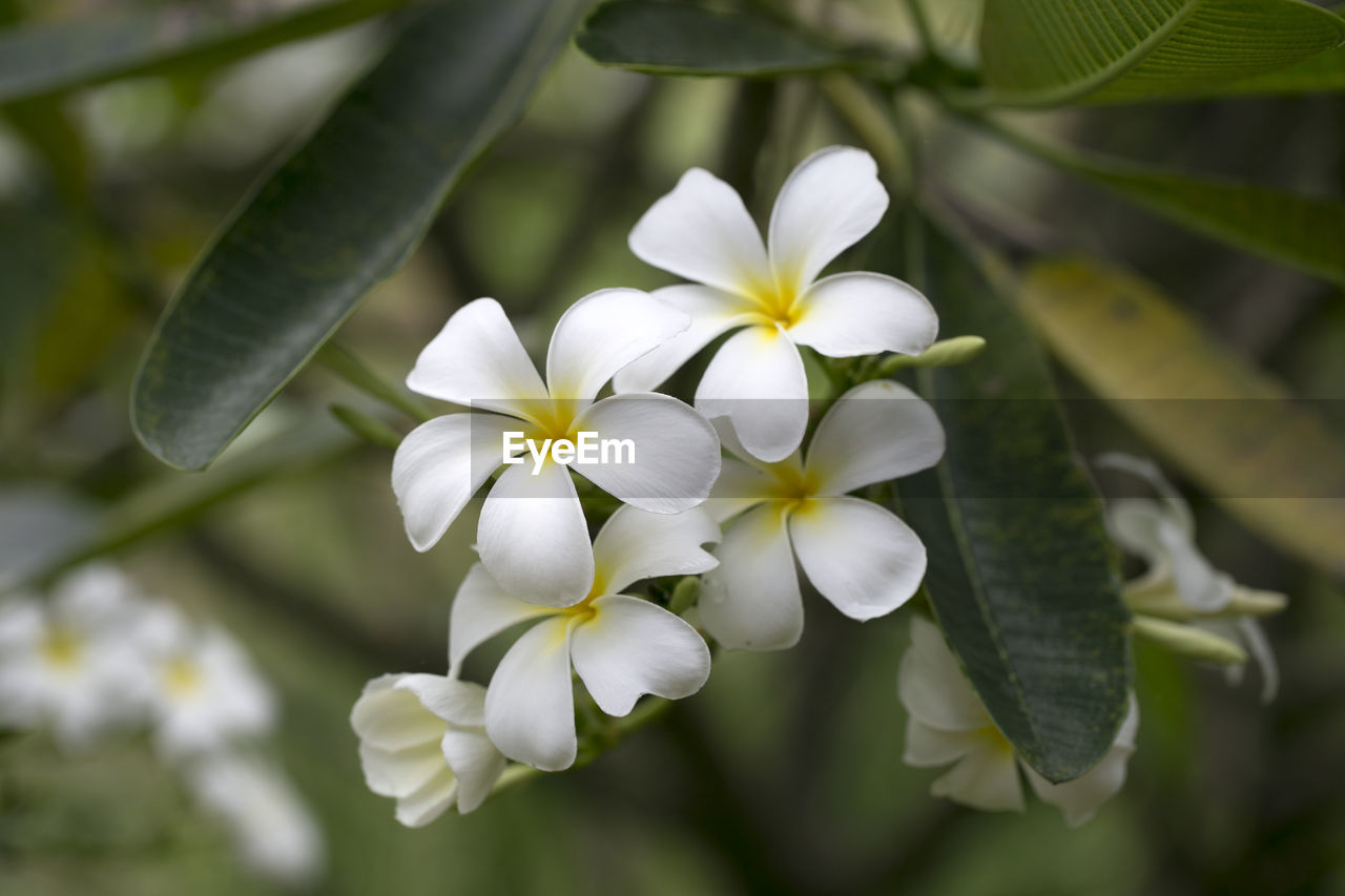 plant, flowering plant, flower, freshness, beauty in nature, growth, fragility, vulnerability, petal, flower head, white color, inflorescence, nature, close-up, no people, day, focus on foreground, plant part, leaf, frangipani