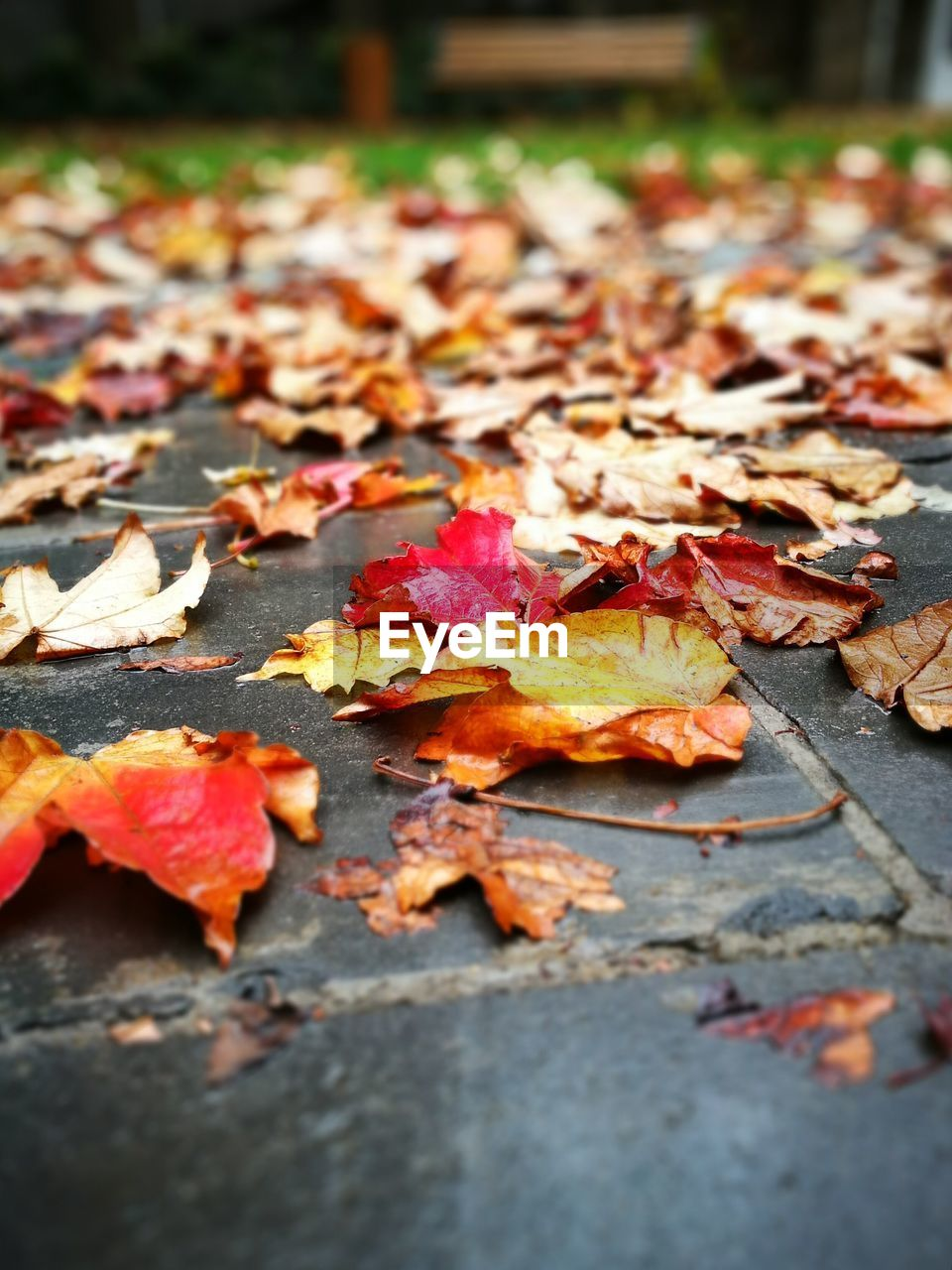 autumn, change, leaf, leaves, dry, fallen, maple leaf, maple, nature, outdoors, day, orange color, beauty in nature, no people, selective focus, abundance, close-up, tranquility, fragility