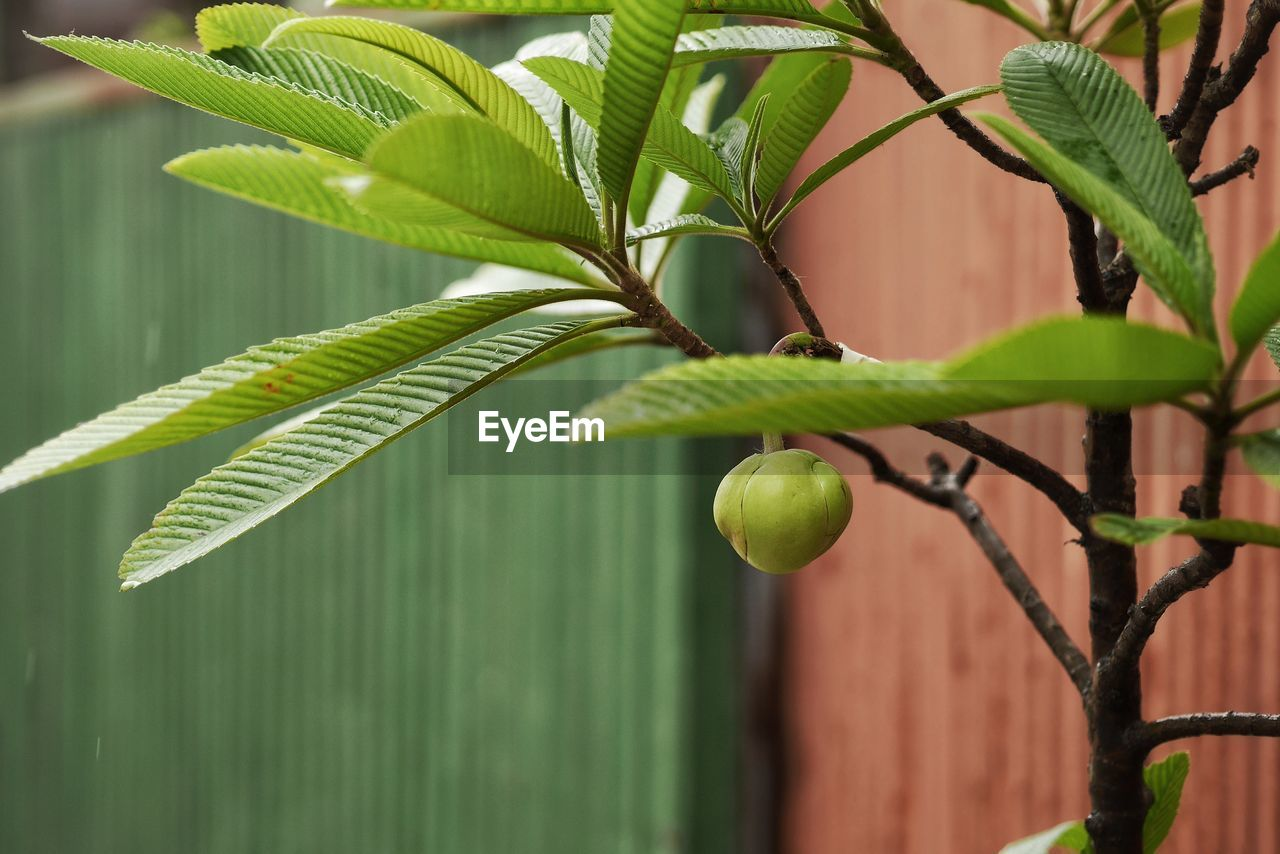 leaf, plant part, green color, plant, growth, nature, close-up, focus on foreground, no people, food, beauty in nature, fence, food and drink, day, fruit, outdoors, boundary, barrier, freshness, healthy eating, leaves