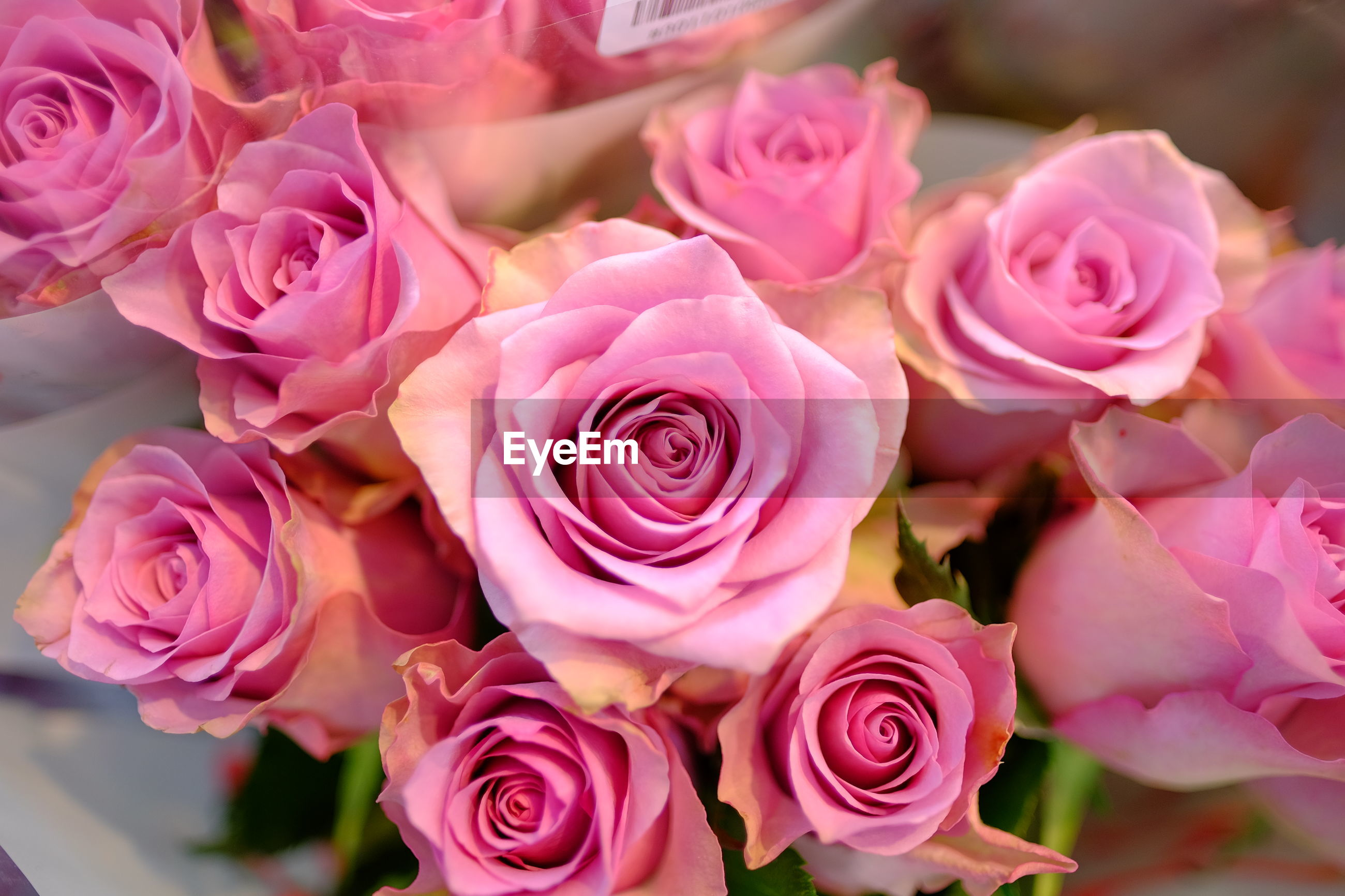 HIGH ANGLE VIEW OF ROSES