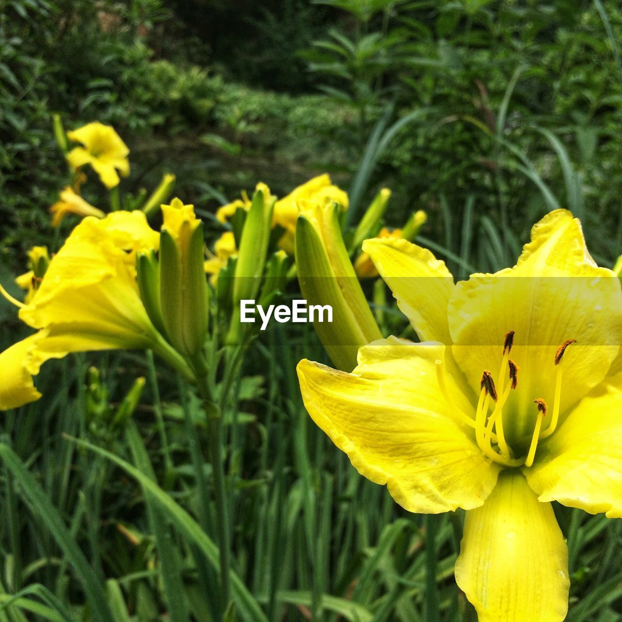 flower, yellow, growth, petal, fragility, nature, plant, beauty in nature, freshness, flower head, outdoors, blooming, no people, close-up, day, green color, springtime, day lily