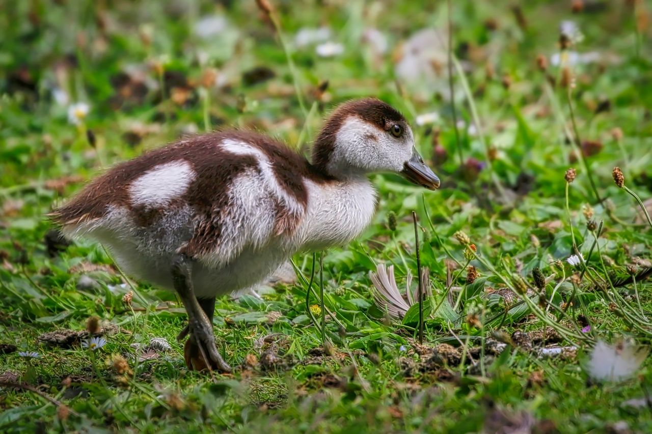 animal themes, animal, one animal, animal wildlife, animals in the wild, vertebrate, bird, plant, grass, side view, land, field, nature, no people, day, young animal, selective focus, full length, young bird, gosling, cygnet