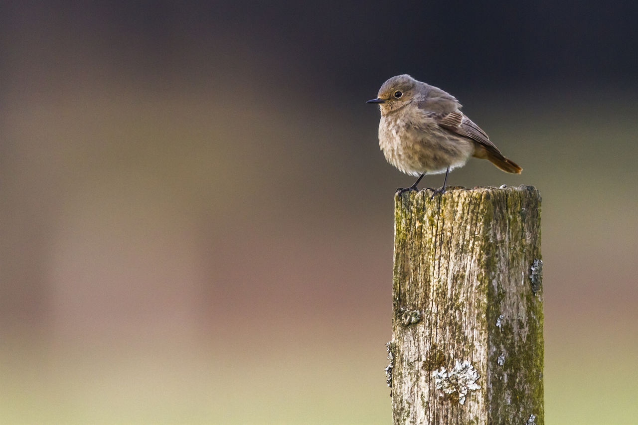 animal wildlife, vertebrate, bird, one animal, animals in the wild, animal, animal themes, perching, focus on foreground, wood - material, no people, day, wooden post, post, nature, close-up, outdoors, copy space, boundary, fence