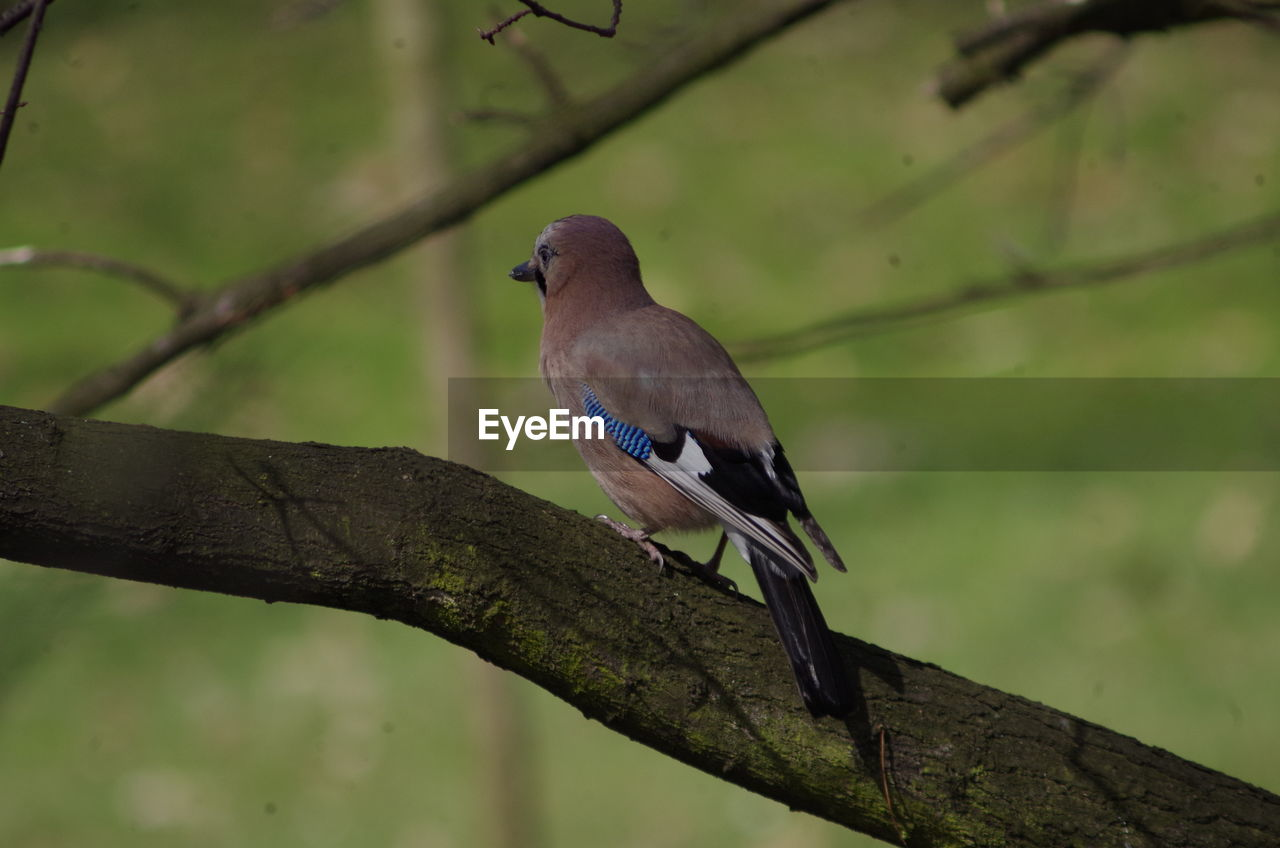 bird, vertebrate, animals in the wild, animal wildlife, perching, animal themes, animal, one animal, branch, tree, focus on foreground, day, plant, no people, outdoors, nature, close-up, songbird, twig, looking