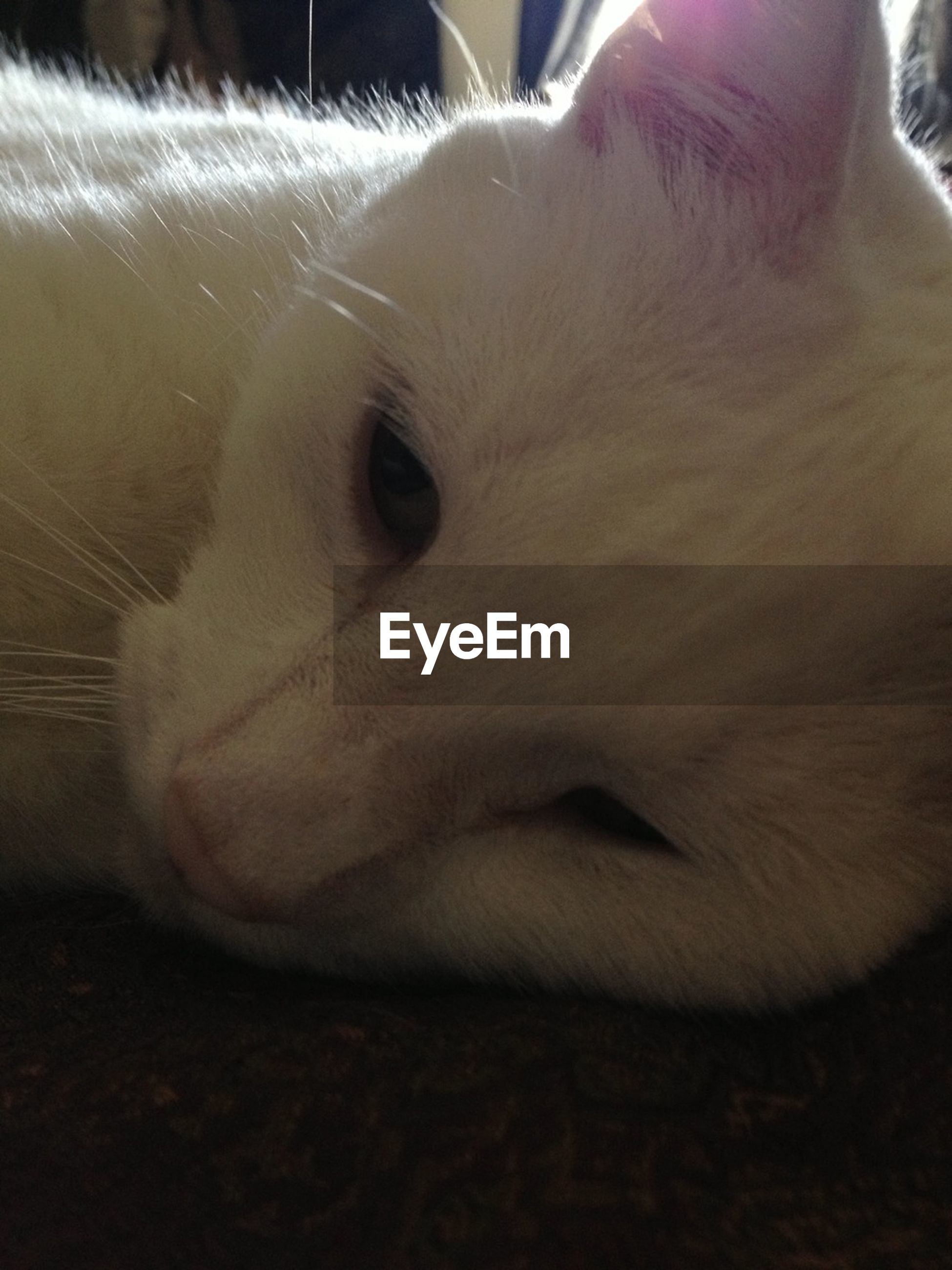 one animal, animal themes, domestic animals, pets, indoors, mammal, animal head, domestic cat, cat, close-up, animal body part, feline, whisker, white color, relaxation, part of, zoology, looking away, animal eye, vertebrate