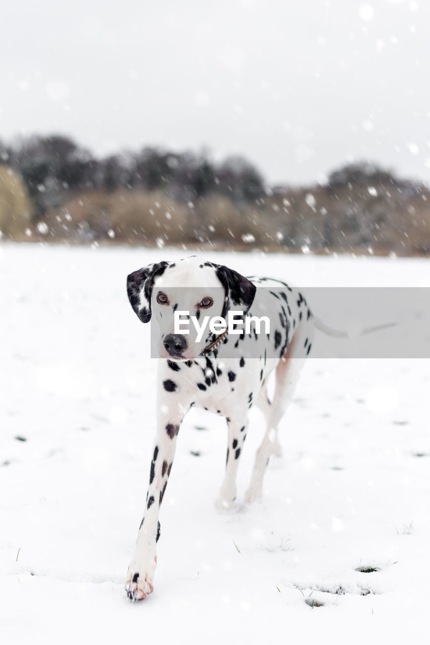 animal, animal themes, mammal, dog, one animal, domestic, pets, domestic animals, canine, dalmatian dog, snow, winter, vertebrate, white color, spotted, day, cold temperature, nature, focus on foreground, outdoors, snowing