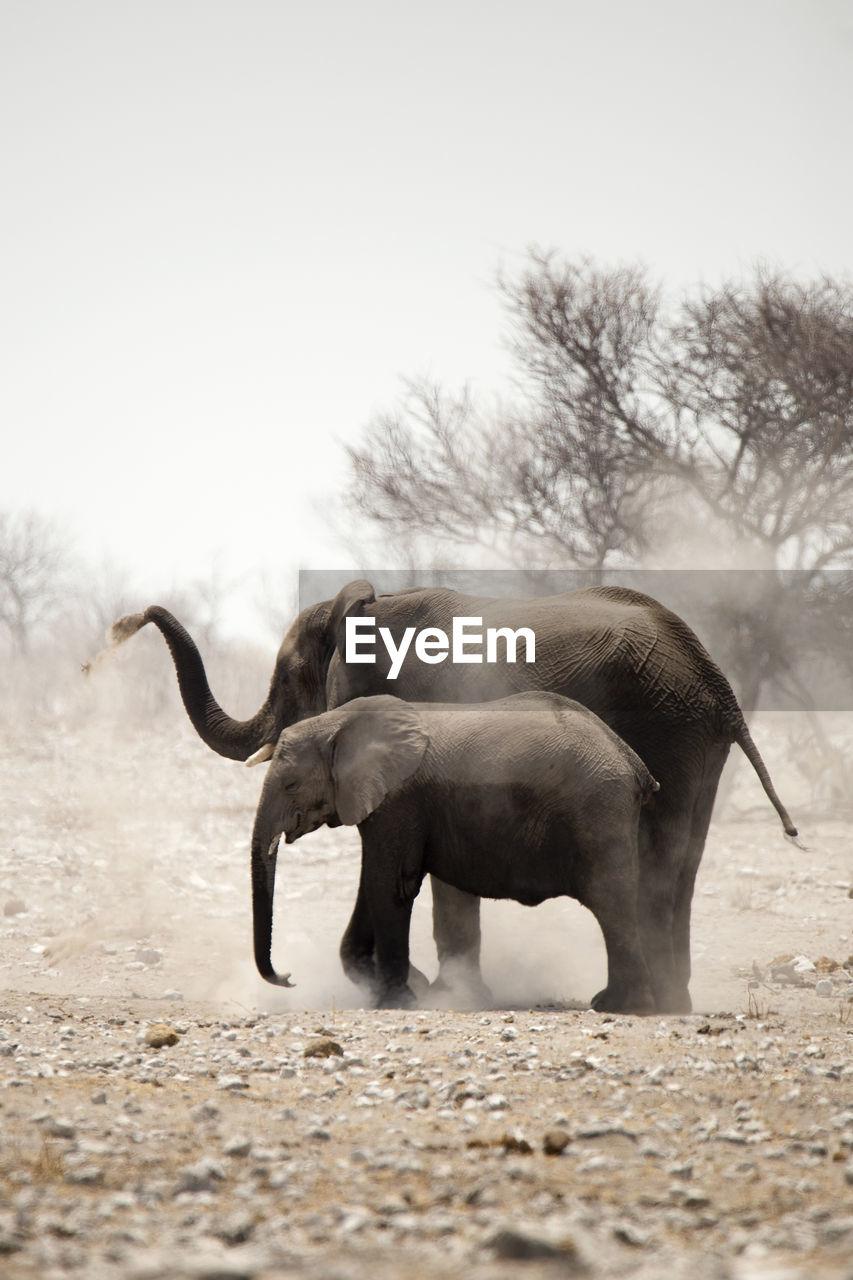 Elephants in field