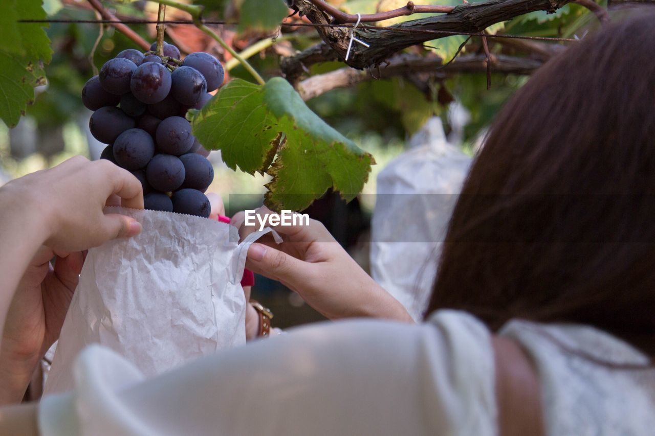 Rear View Of Woman Picking Grapes In Vineyard