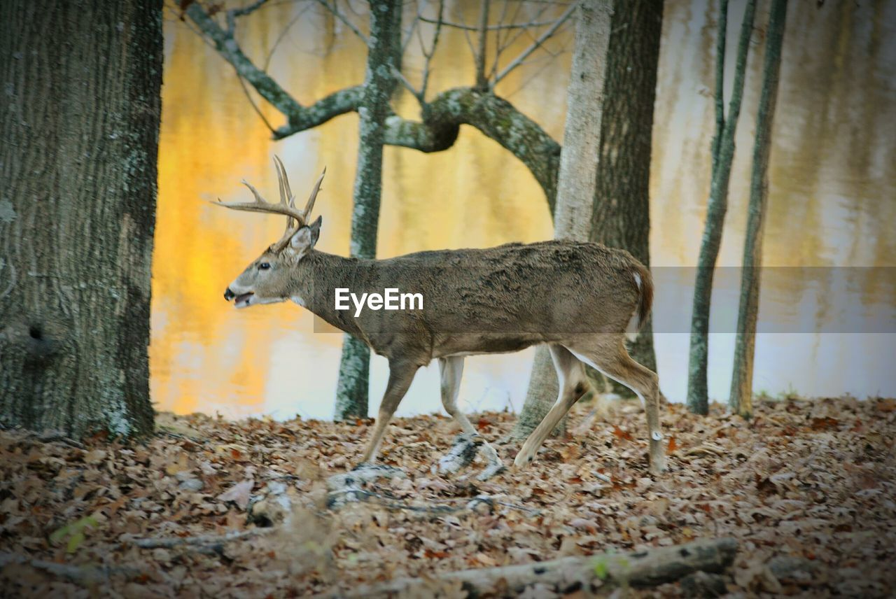 animals in the wild, animal themes, one animal, animal wildlife, mammal, no people, nature, day, outdoors, stag, tree