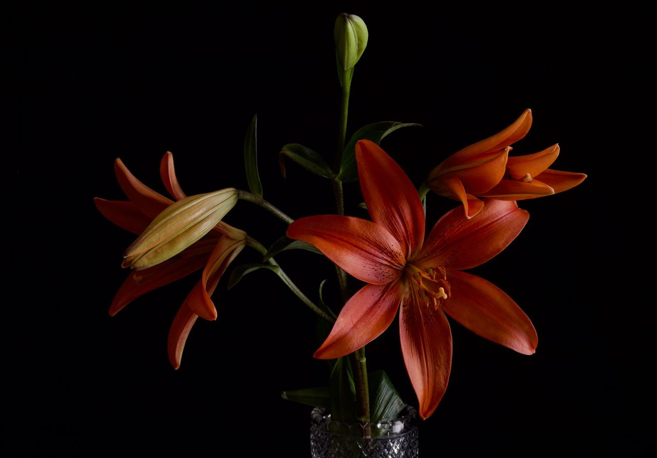 Close-up of orange day lilies against black background