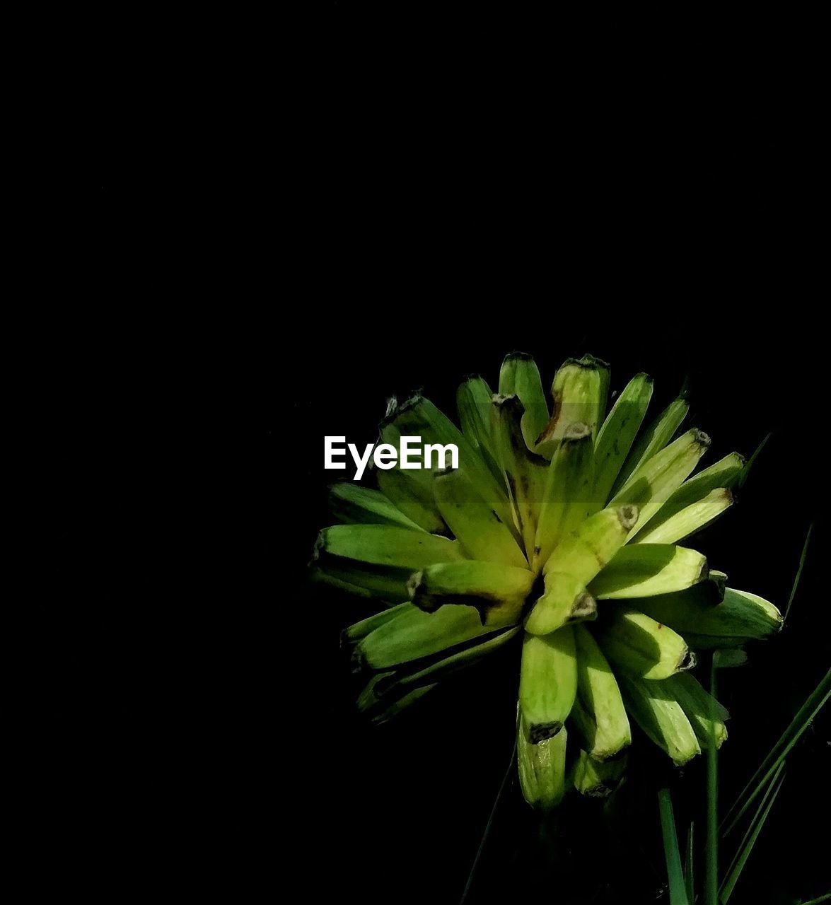 copy space, black background, studio shot, beauty in nature, plant, growth, close-up, green color, freshness, flower, flowering plant, vulnerability, fragility, no people, nature, indoors, leaf, plant part, flower head, petal