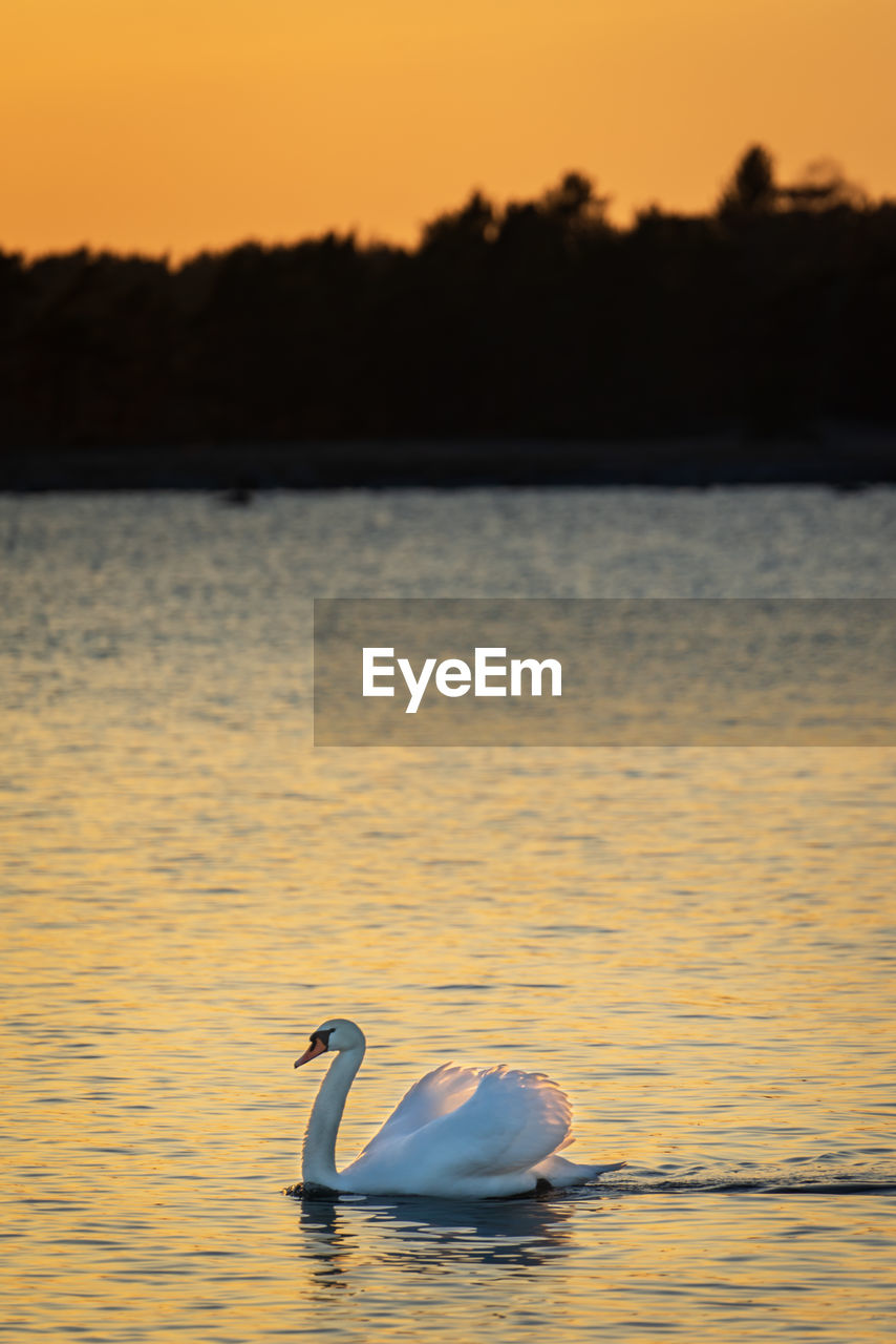 bird, sunset, water, animals in the wild, animal wildlife, vertebrate, animal, animal themes, sky, beauty in nature, swan, lake, one animal, swimming, nature, waterfront, scenics - nature, water bird, tranquility, no people, outdoors, floating on water