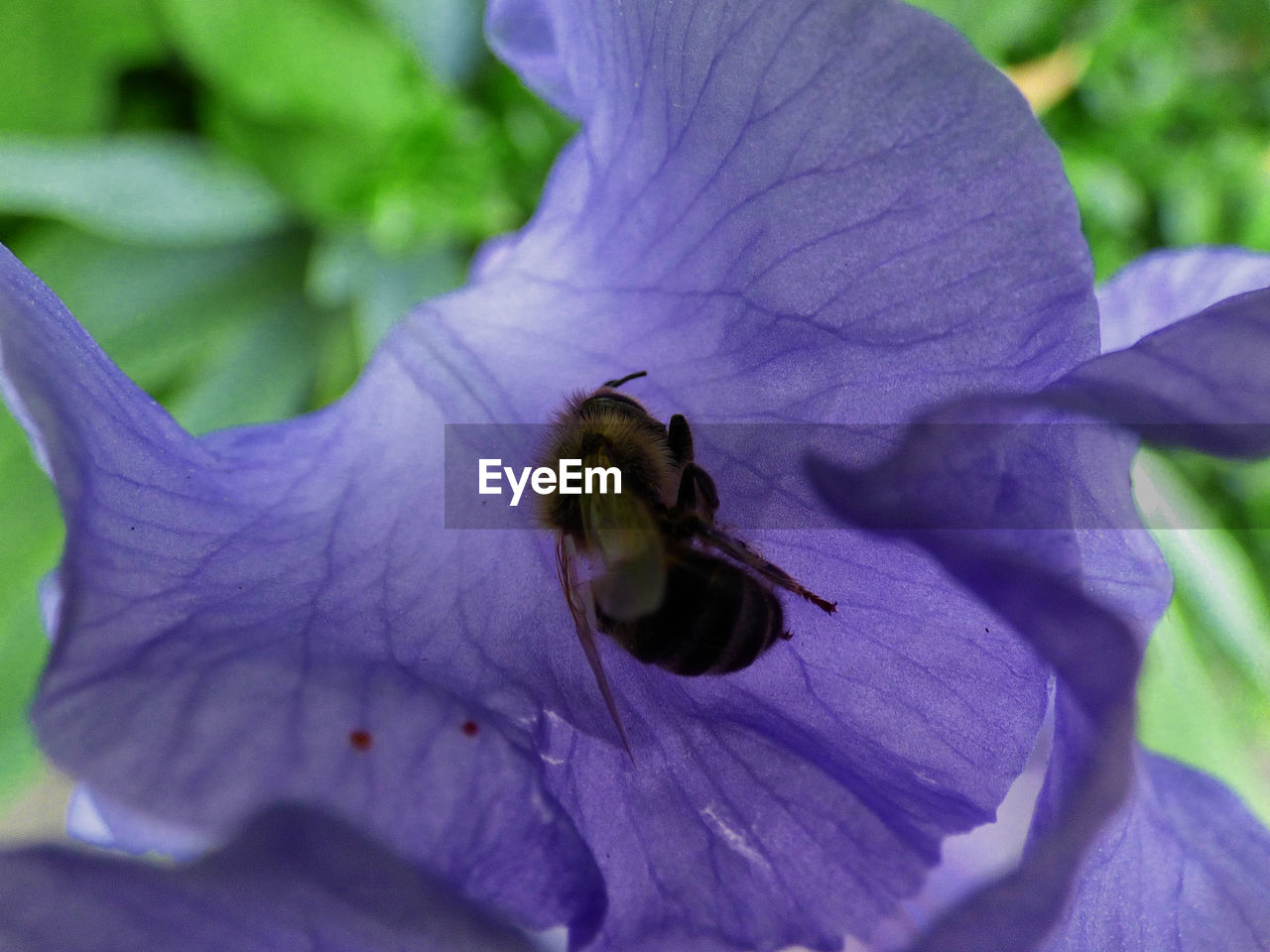 one animal, purple, insect, animal themes, flower, animals in the wild, petal, fragility, close-up, nature, outdoors, day, animal wildlife, growth, plant, beauty in nature, bee, flower head, no people, freshness