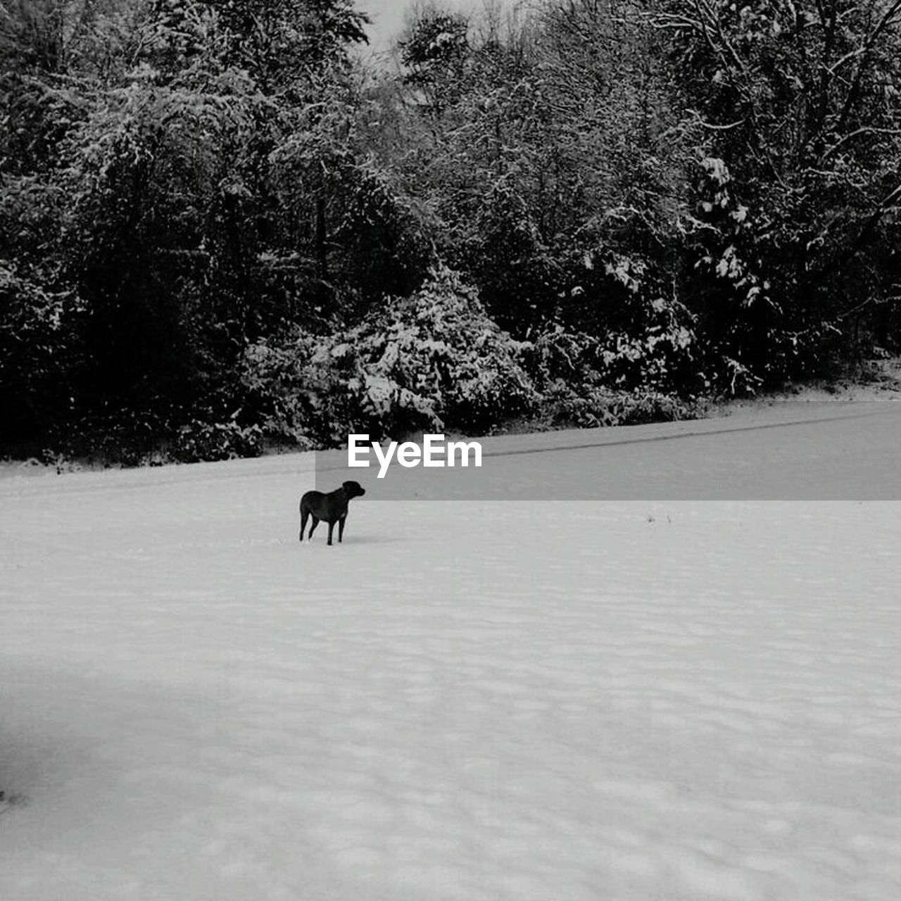 winter, snow, cold temperature, nature, tree, animal themes, dog, domestic animals, mammal, weather, outdoors, pets, field, one animal, day, full length, no people, beauty in nature, landscape