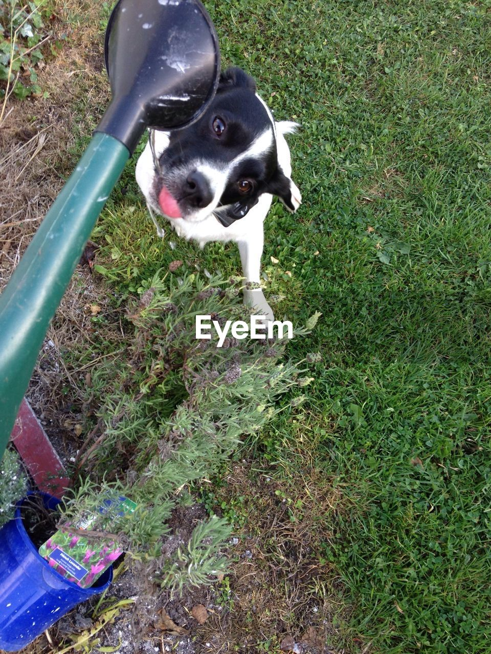 dog, animal themes, one animal, domestic animals, pets, mammal, high angle view, grass, day, field, outdoors, no people, portrait, nature