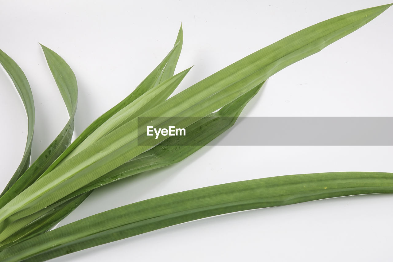 green color, plant part, leaf, white background, close-up, studio shot, indoors, plant, no people, nature, freshness, food and drink, growth, food, still life, beauty in nature, high angle view, cut out, wellbeing, succulent plant, leaves