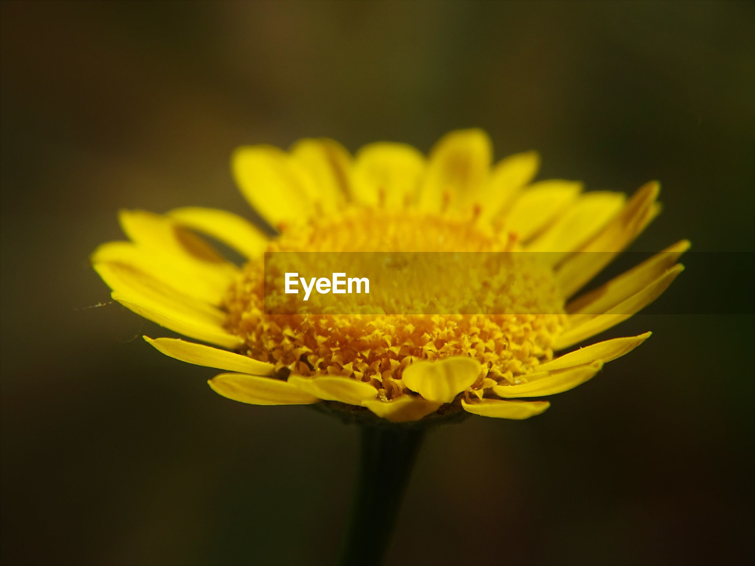 Close-up of a yellow flower against blurred background