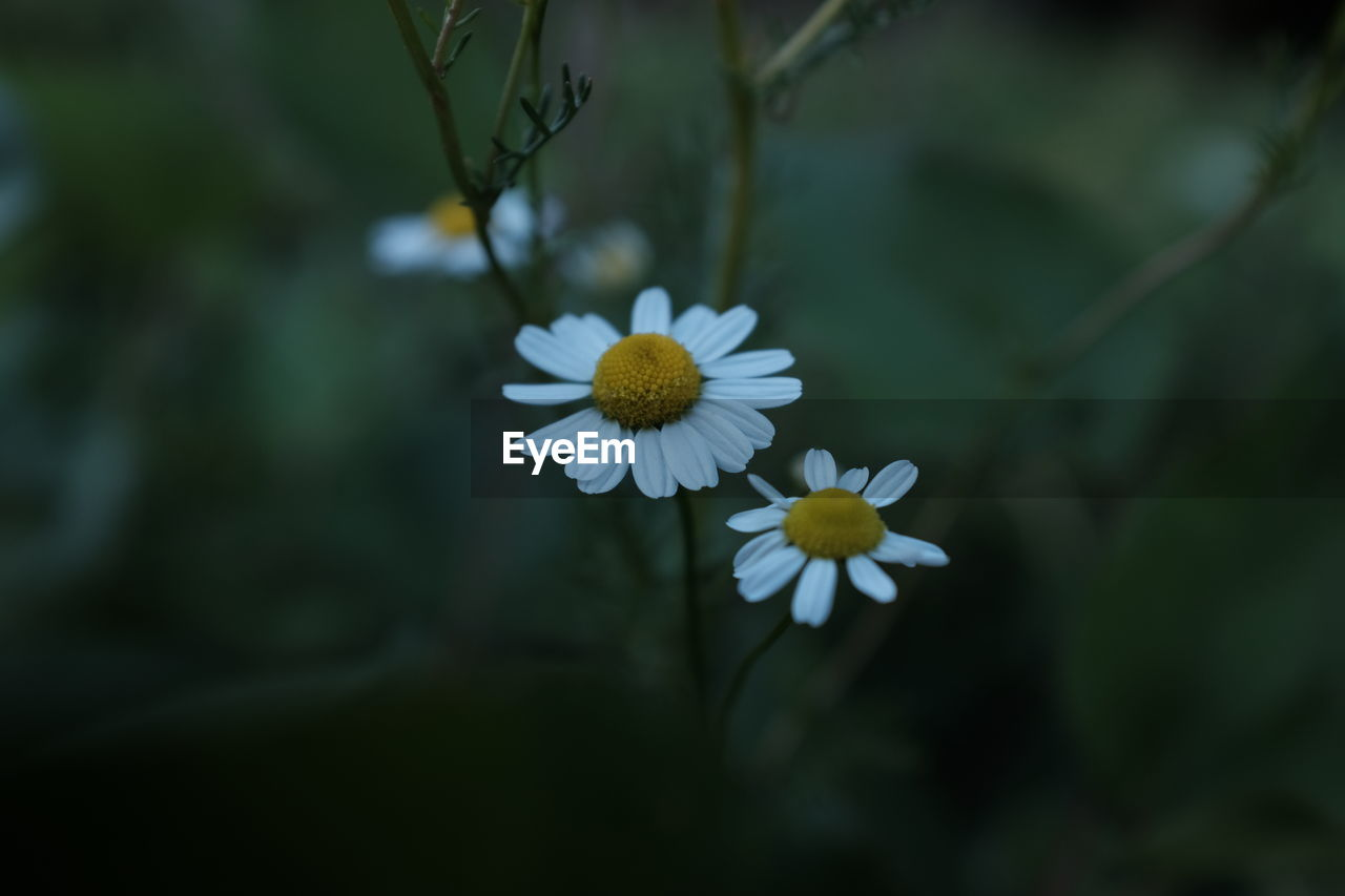 flower, nature, beauty in nature, fragility, growth, petal, freshness, blooming, flower head, white color, outdoors, day, plant, no people, close-up