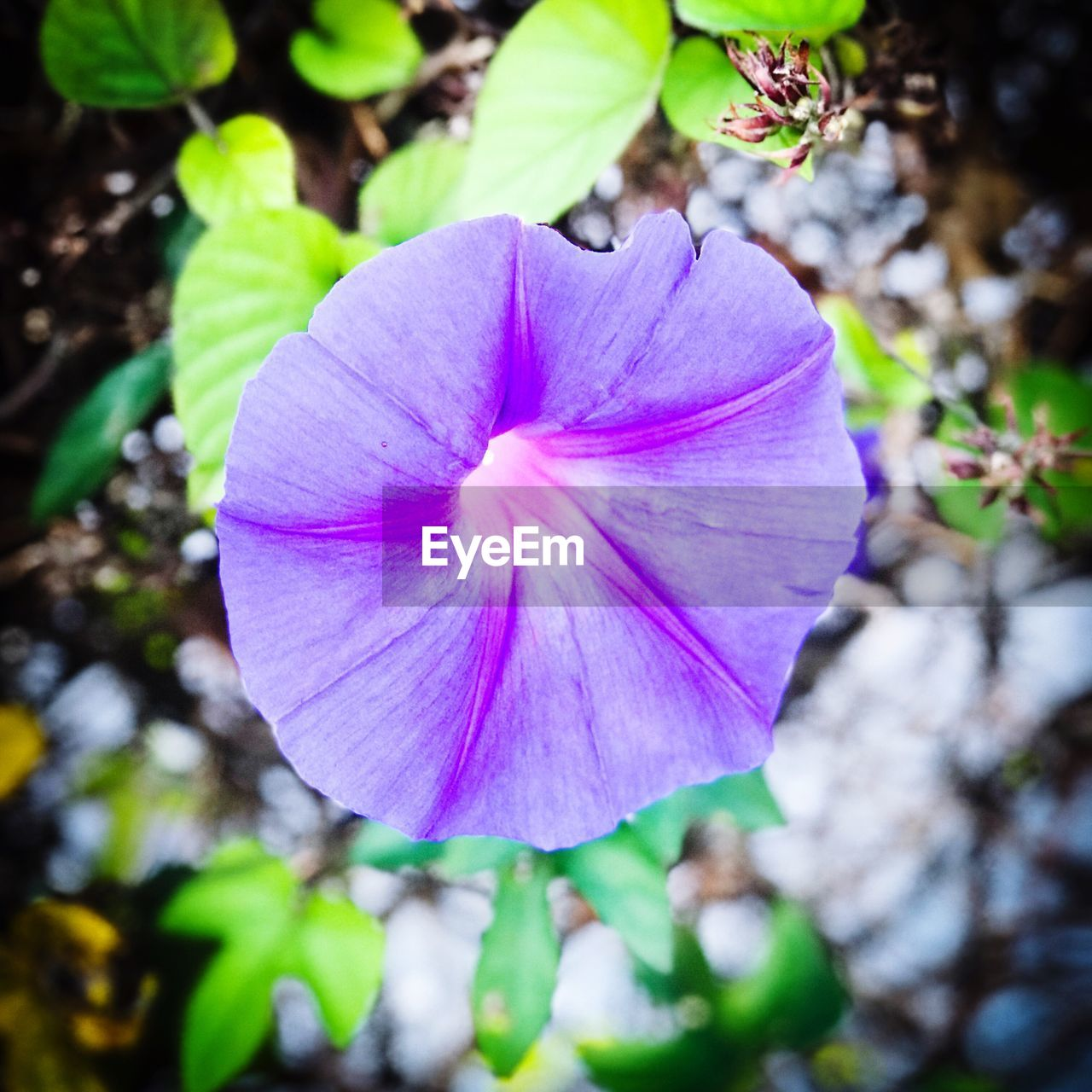 flower, fragility, beauty in nature, petal, nature, freshness, growth, flower head, plant, petunia, close-up, outdoors, day, no people, blooming, pansy