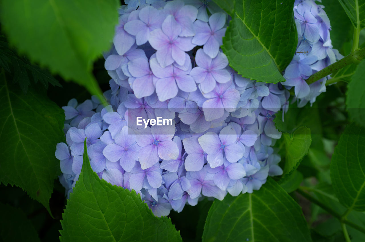 flowering plant, flower, leaf, plant part, plant, beauty in nature, growth, freshness, vulnerability, petal, fragility, close-up, purple, hydrangea, flower head, inflorescence, nature, day, green color, no people, springtime, bunch of flowers, lilac, outdoors, lantana