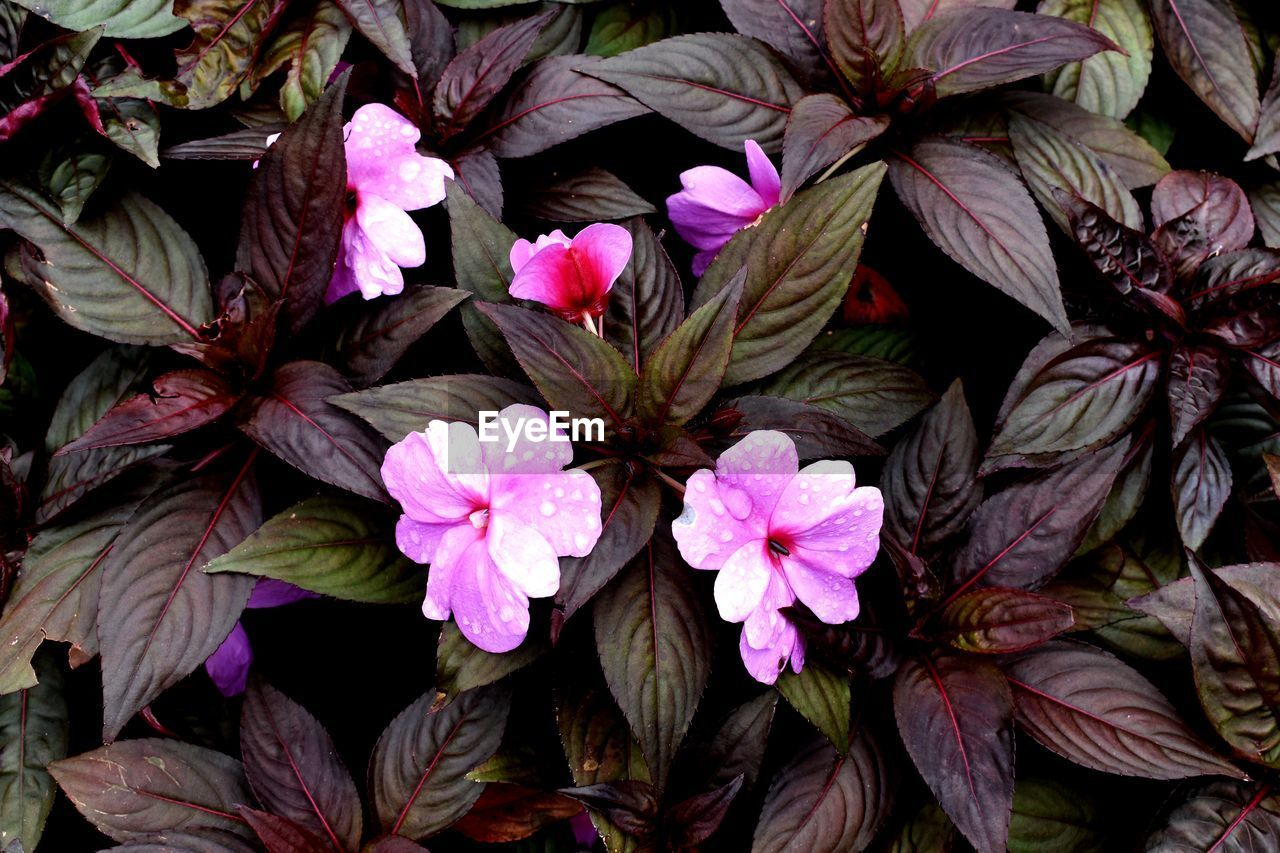 plant, flower, flowering plant, growth, beauty in nature, petal, fragility, vulnerability, freshness, nature, plant part, close-up, flower head, leaf, inflorescence, no people, pink color, botany, outdoors, day, springtime, purple