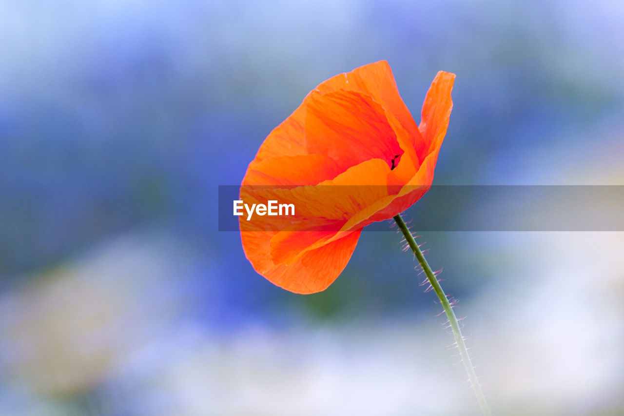 CLOSE-UP OF ORANGE POPPY OF FLOWER