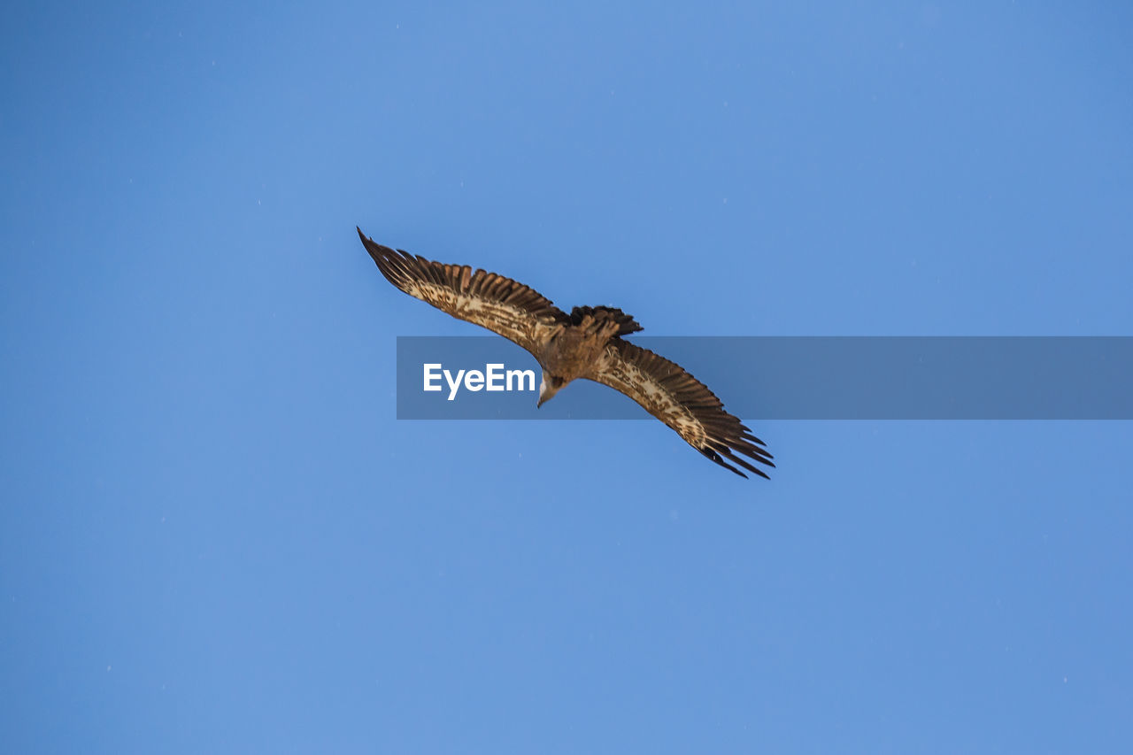 animal wildlife, animal themes, animal, animals in the wild, one animal, vertebrate, blue, bird of prey, flying, spread wings, bird, copy space, low angle view, no people, mid-air, sky, clear sky, nature, motion, day, outdoors, eagle, marine