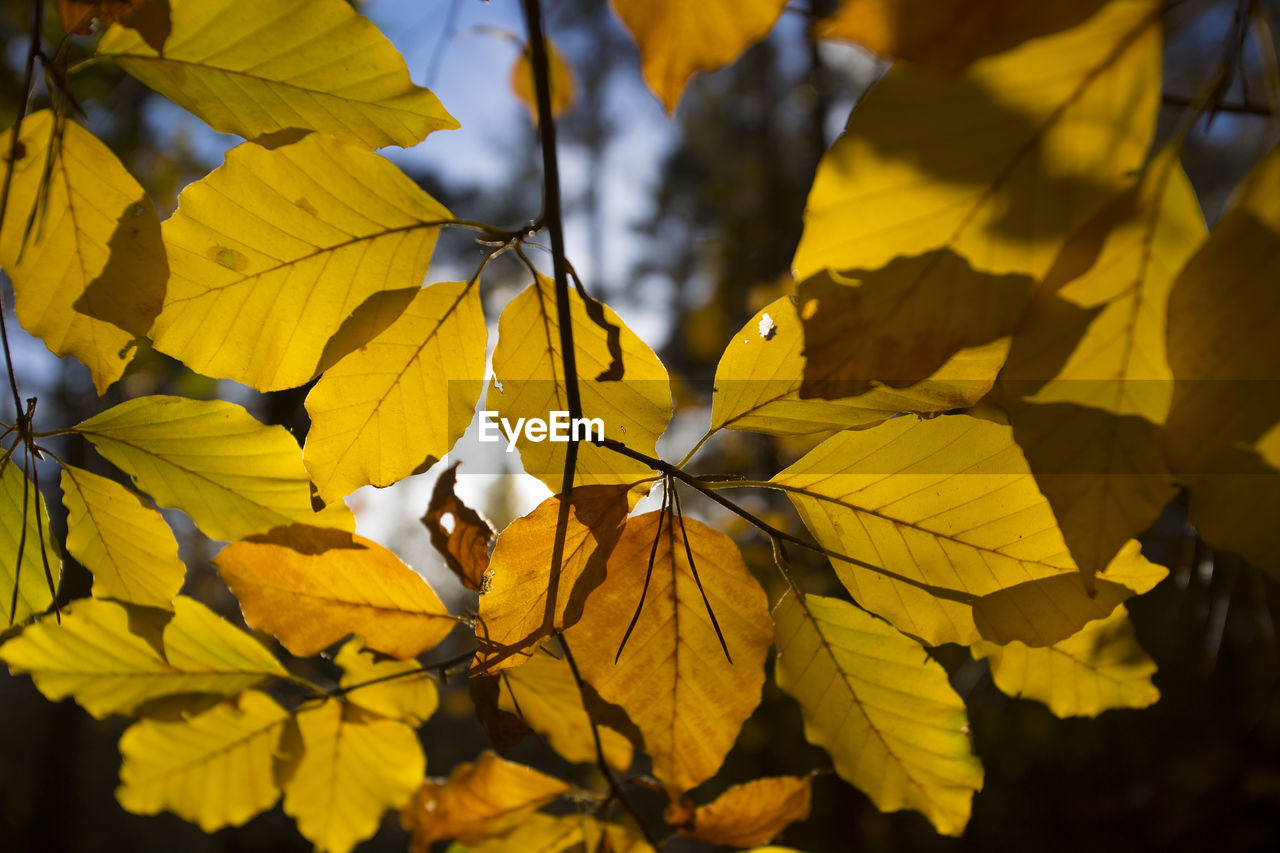 yellow, plant part, leaf, plant, growth, beauty in nature, close-up, autumn, no people, leaves, nature, change, day, vulnerability, focus on foreground, fragility, selective focus, outdoors, freshness, leaf vein, natural condition
