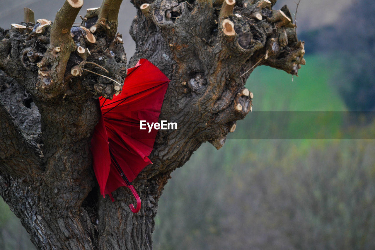 red, tree trunk, tree, day, no people, nature, focus on foreground, close-up, outdoors, leaf, beauty in nature, branch