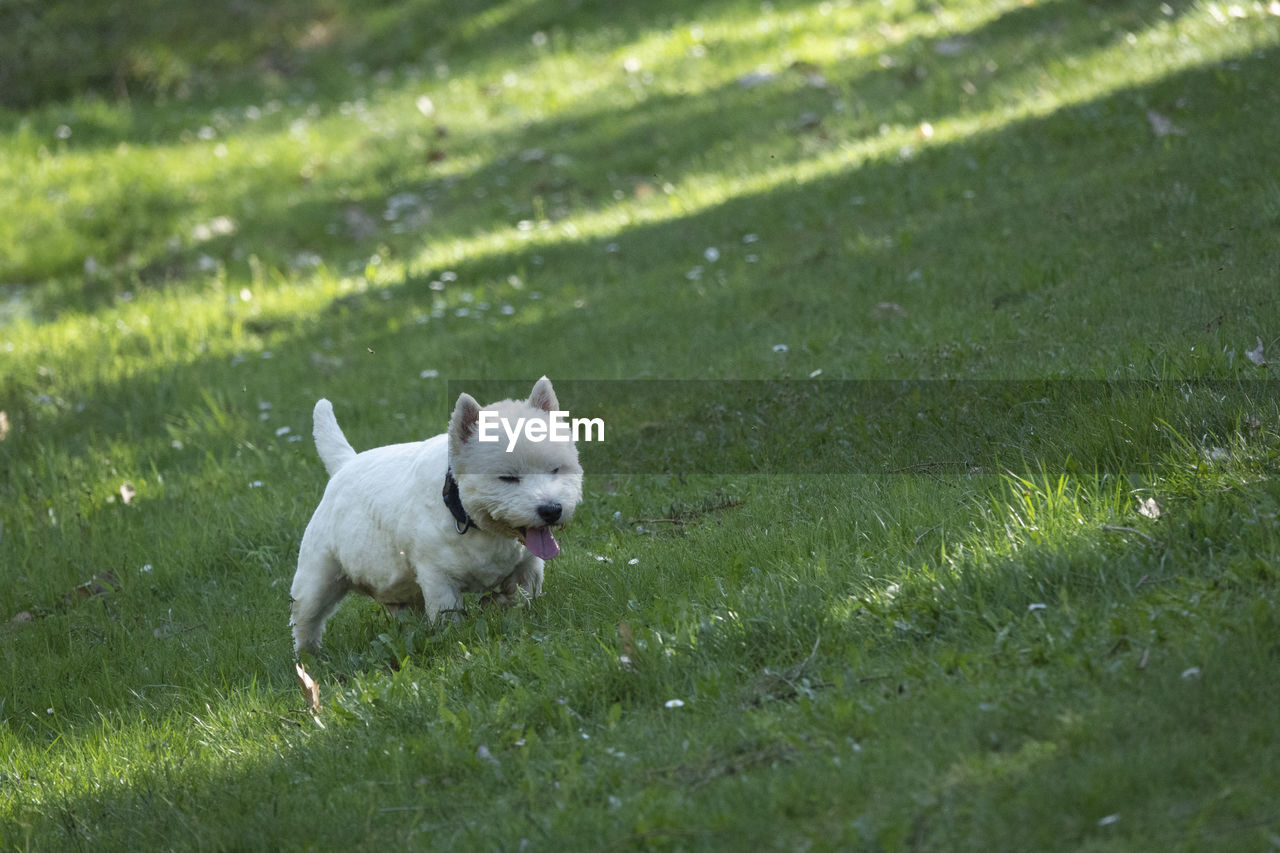 one animal, domestic, mammal, animal themes, pets, domestic animals, grass, dog, canine, animal, plant, green color, nature, running, selective focus, day, motion, no people, land, field, small