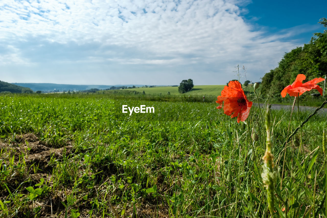 plant, flower, flowering plant, growth, beauty in nature, sky, field, land, nature, landscape, green color, freshness, vulnerability, fragility, cloud - sky, flower head, environment, scenics - nature, tranquility, day, no people, poppy, outdoors