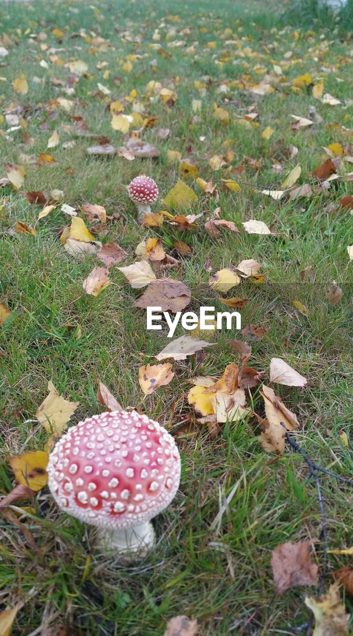 mushroom, fungus, nature, grass, fly agaric mushroom, growth, toadstool, field, beauty in nature, day, high angle view, outdoors, no people, fly agaric, close-up, fragility, leaf, freshness