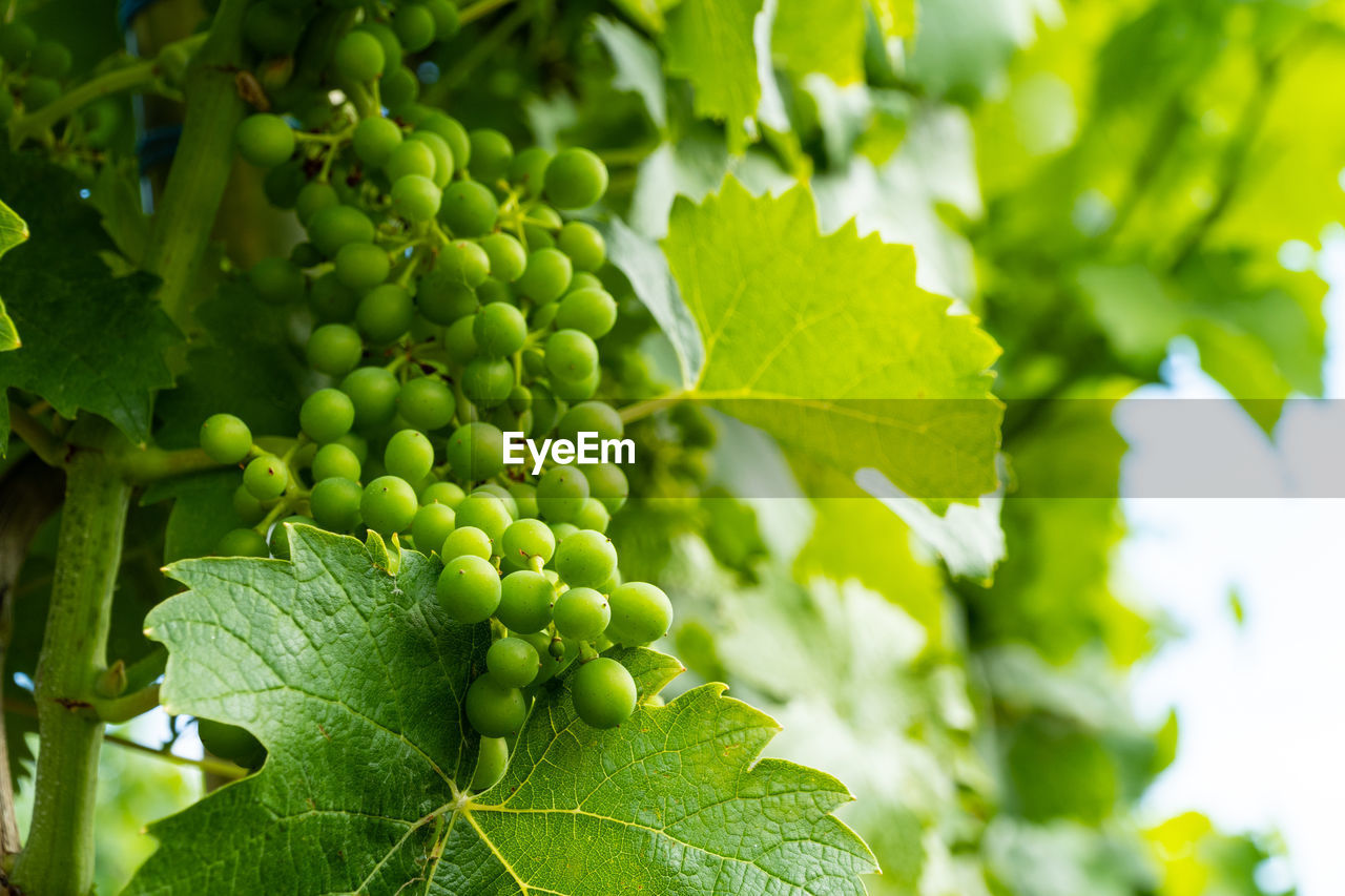 green color, growth, leaf, plant part, plant, food and drink, food, fruit, no people, nature, beauty in nature, healthy eating, freshness, close-up, day, tree, selective focus, grape, focus on foreground, wellbeing, outdoors, leaves, winemaking