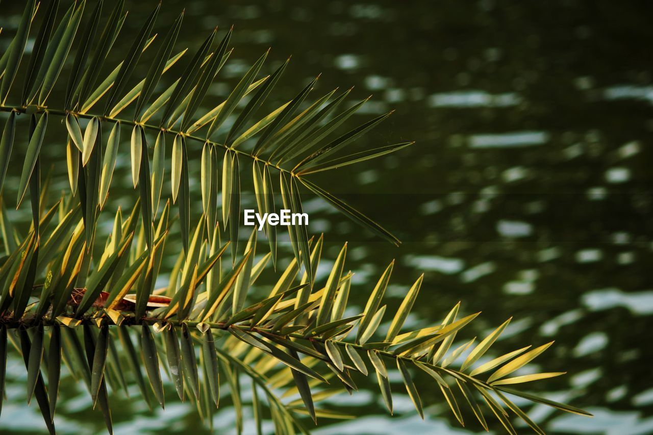plant, growth, tree, beauty in nature, nature, close-up, focus on foreground, day, no people, green color, leaf, plant part, needle - plant part, branch, outdoors, pine tree, tranquility, palm leaf, selective focus, freshness, coniferous tree, leaves
