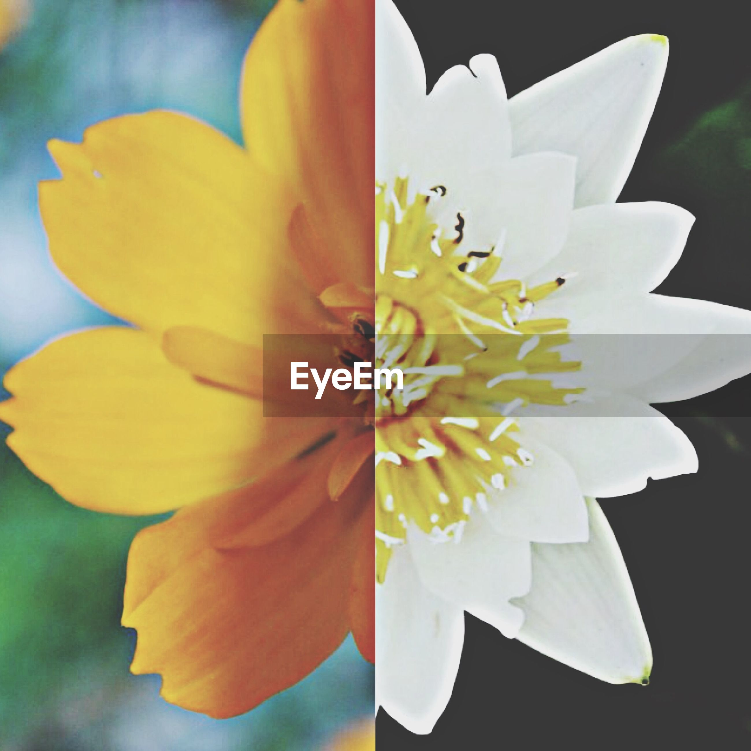 flower, petal, flower head, freshness, fragility, single flower, pollen, close-up, beauty in nature, yellow, stamen, growth, blooming, nature, focus on foreground, in bloom, plant, outdoors, blossom, white color