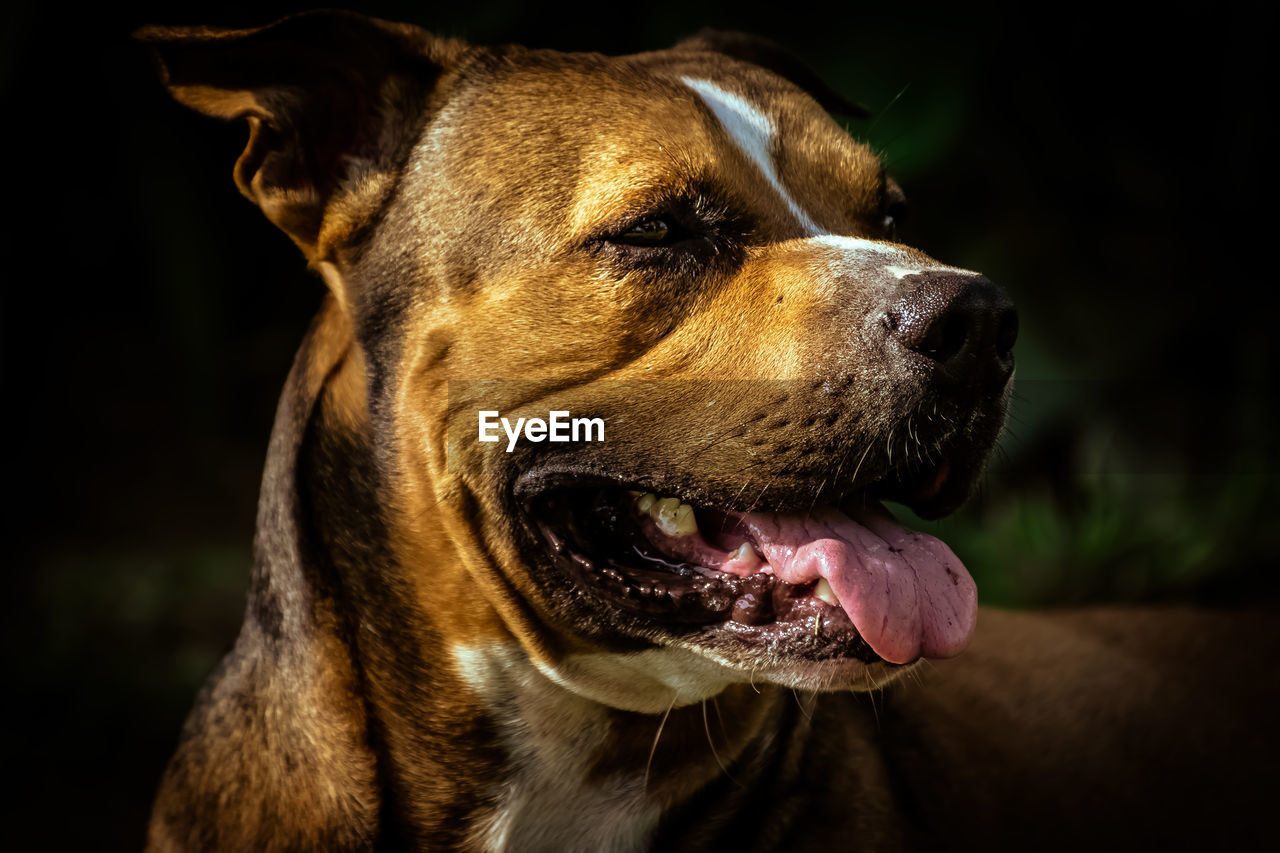 one animal, dog, canine, mammal, animal themes, animal, domestic animals, pets, vertebrate, domestic, looking away, close-up, looking, animal body part, focus on foreground, no people, animal head, carnivora, brown, outdoors, purebred dog, mouth open, jack russell terrier, snout, animal mouth