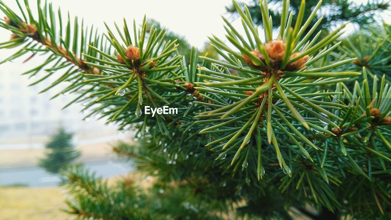plant, green color, tree, close-up, growth, pine tree, day, no people, nature, focus on foreground, selective focus, beauty in nature, branch, leaf, plant part, needle - plant part, outdoors, coniferous tree, tranquility, green, fir tree